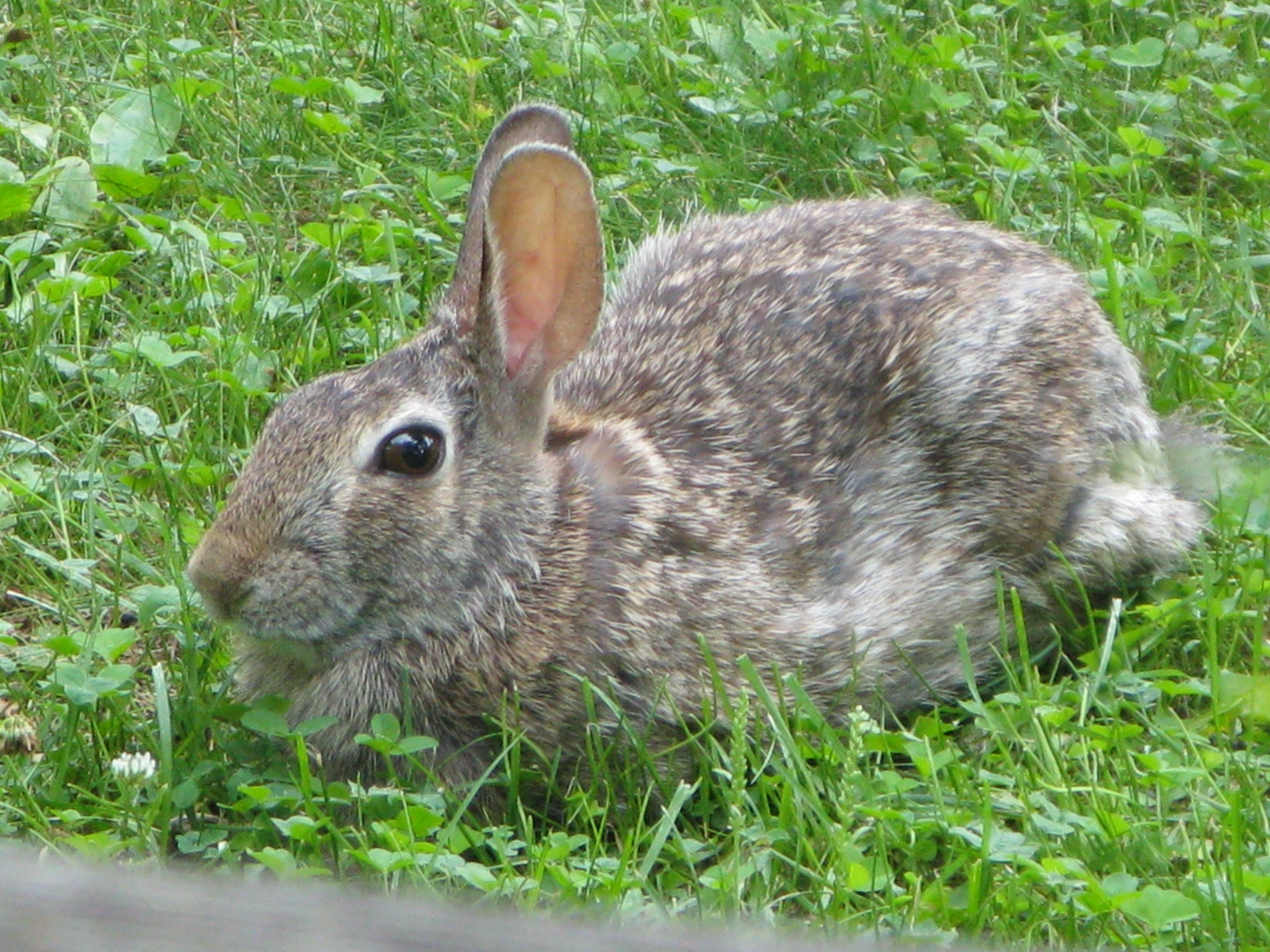 Wild Backyard Rabbits : Wild rabbit in my front yard  Rabbits!  Pinterest