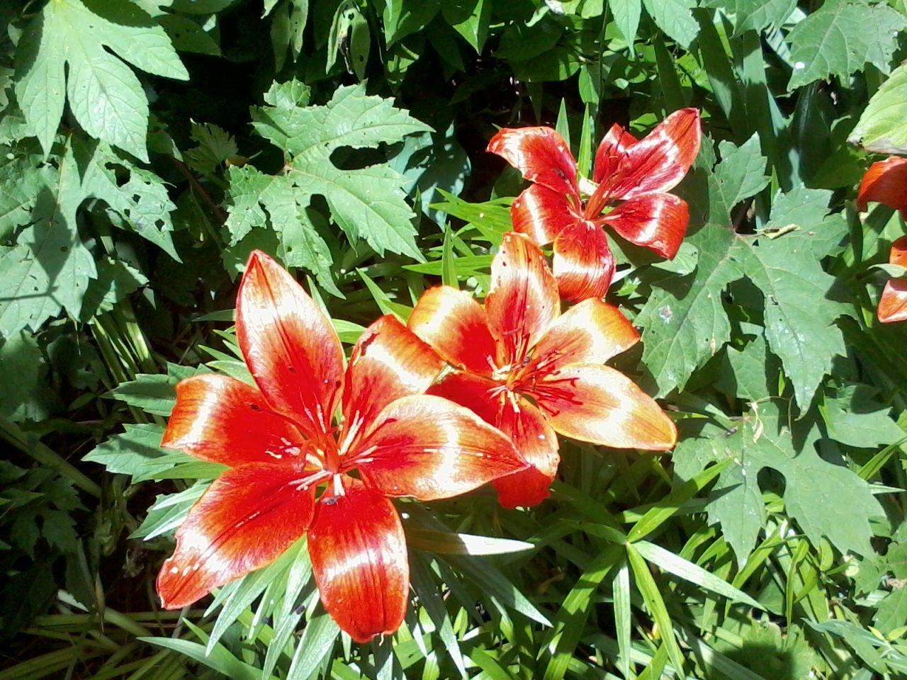 orange tiger lily flower Flowers