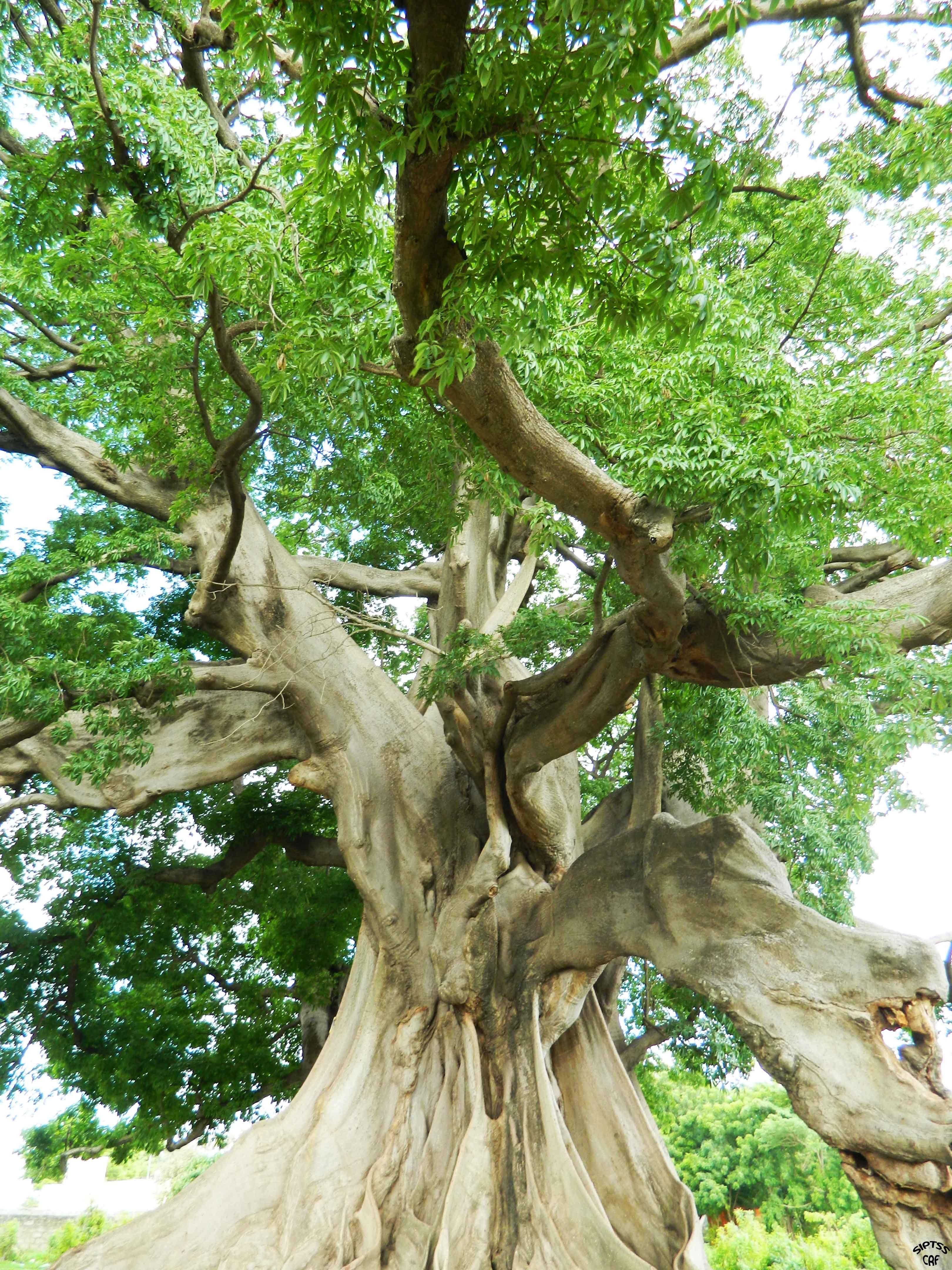 Kapok tree | TREE | Pinterest