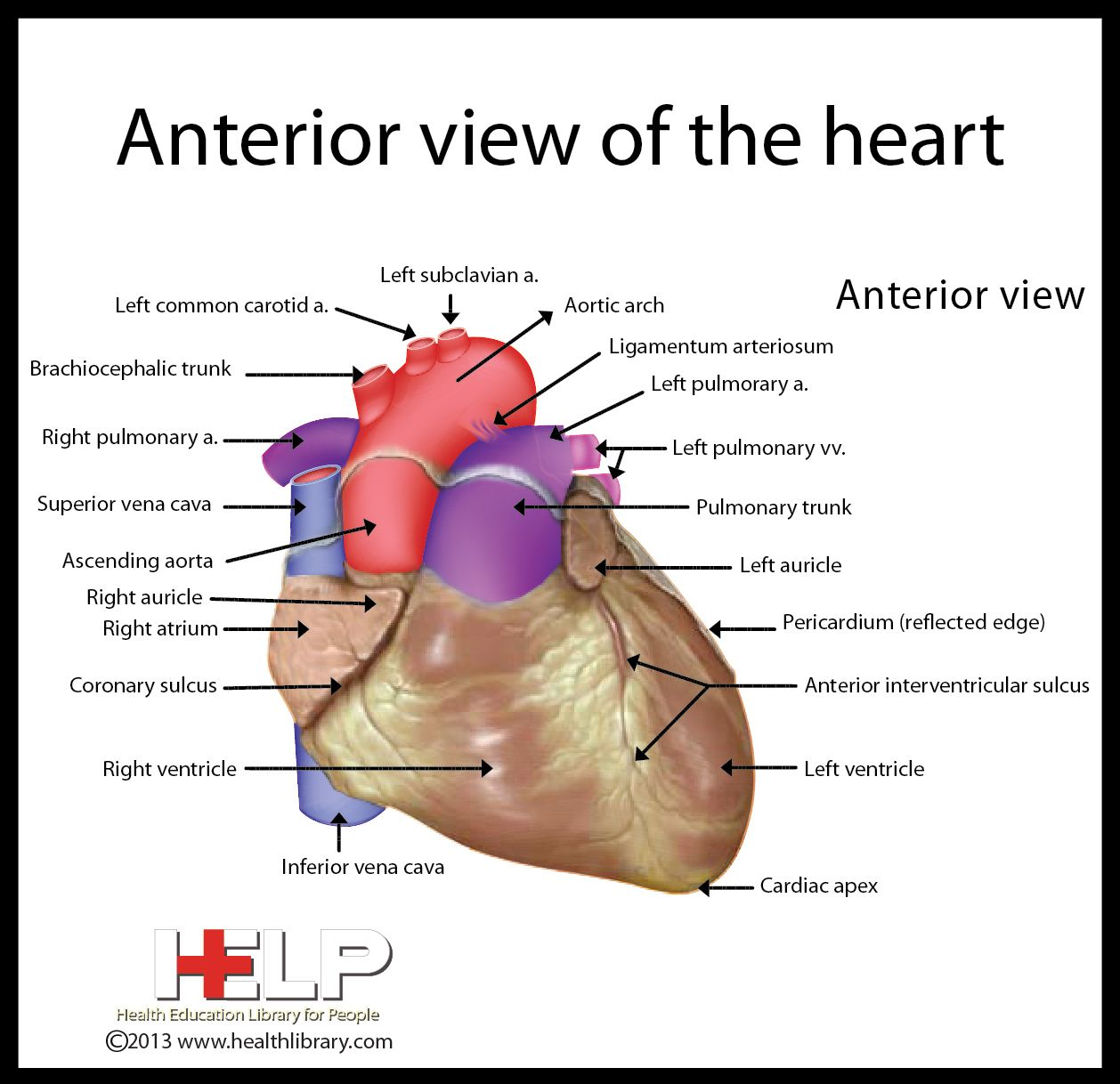 anterior view of the heart medical pinterest