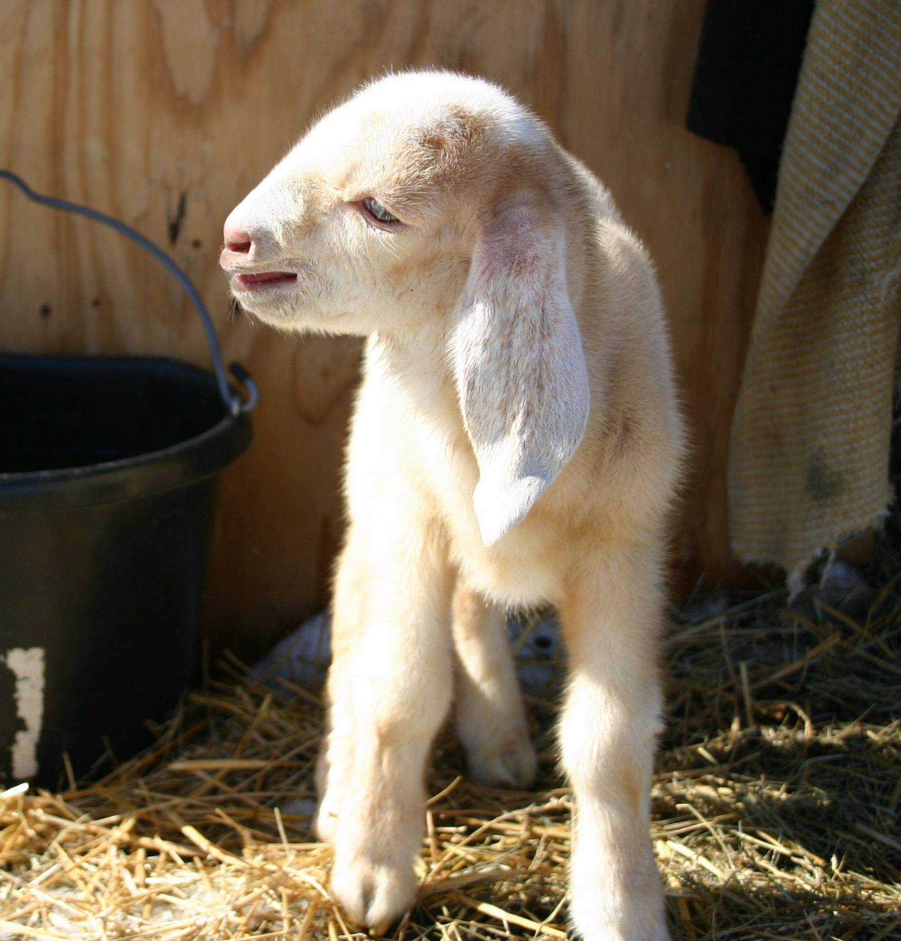 Baby Nubian goat | Dairy Goat Dreams | Pinterest