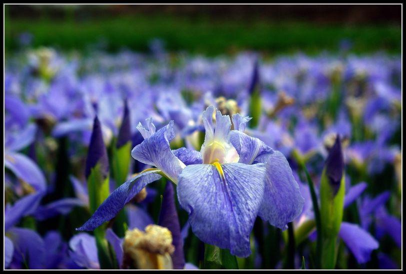 梵谷的鳶尾花