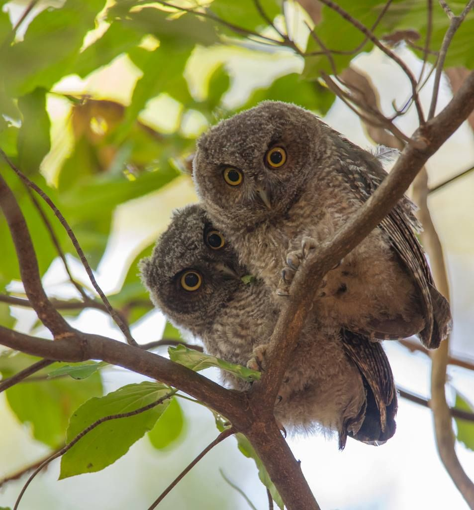 Western screech owls owls pinterest