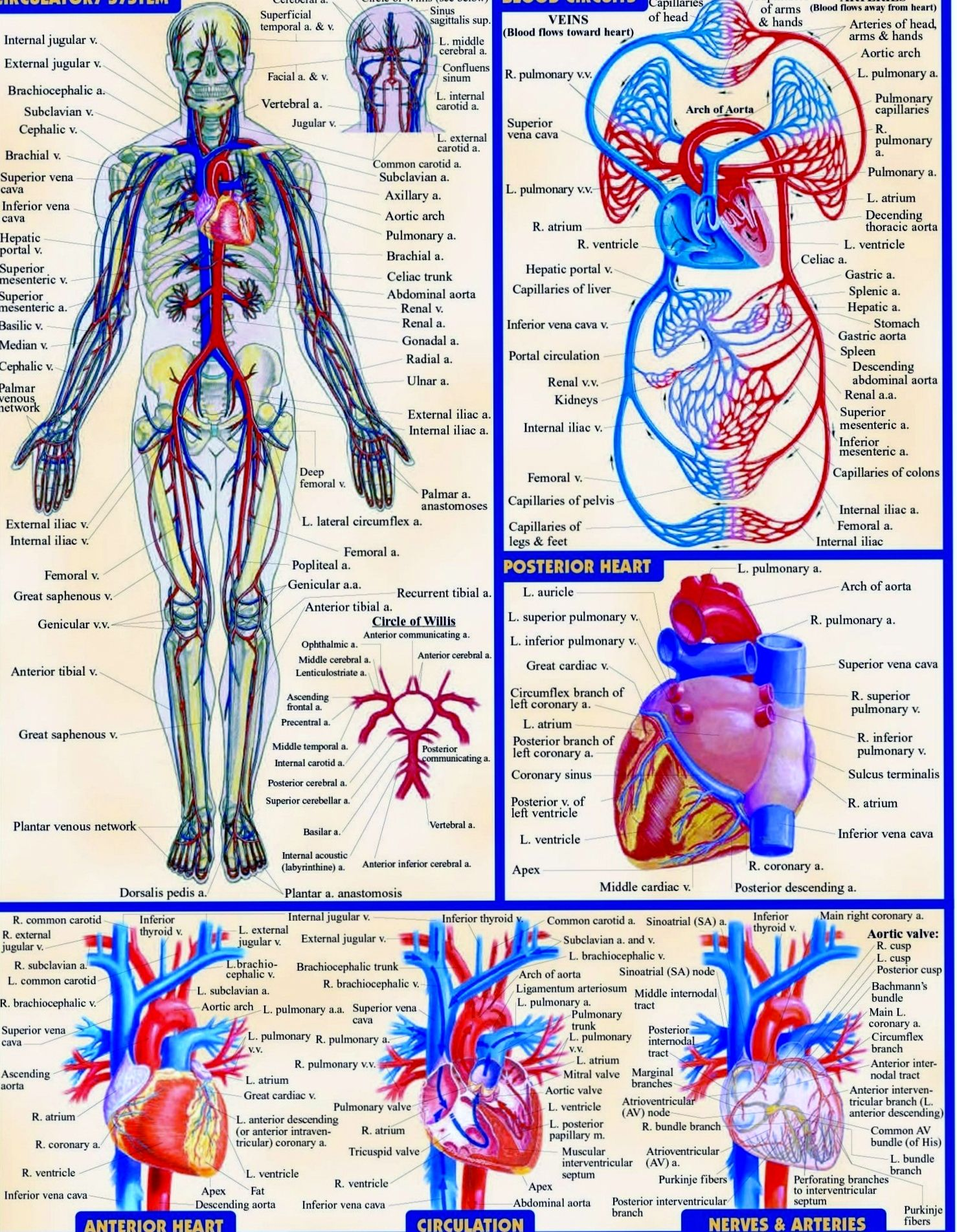 the cardiovascular system The circulatory system, also called the cardiovascular system or the vascular system, is an organ system that permits blood to circulate and transport nutrients.
