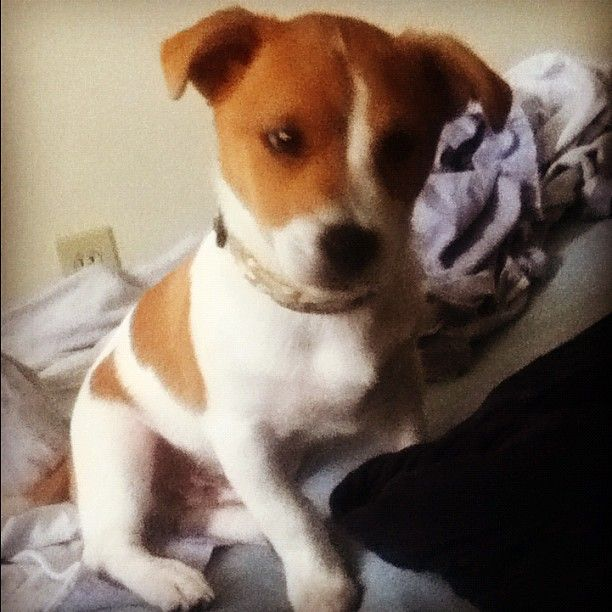Odie our Jack Russell Beagle Mix   Cute fuzzy creatures I love   Pint ...
