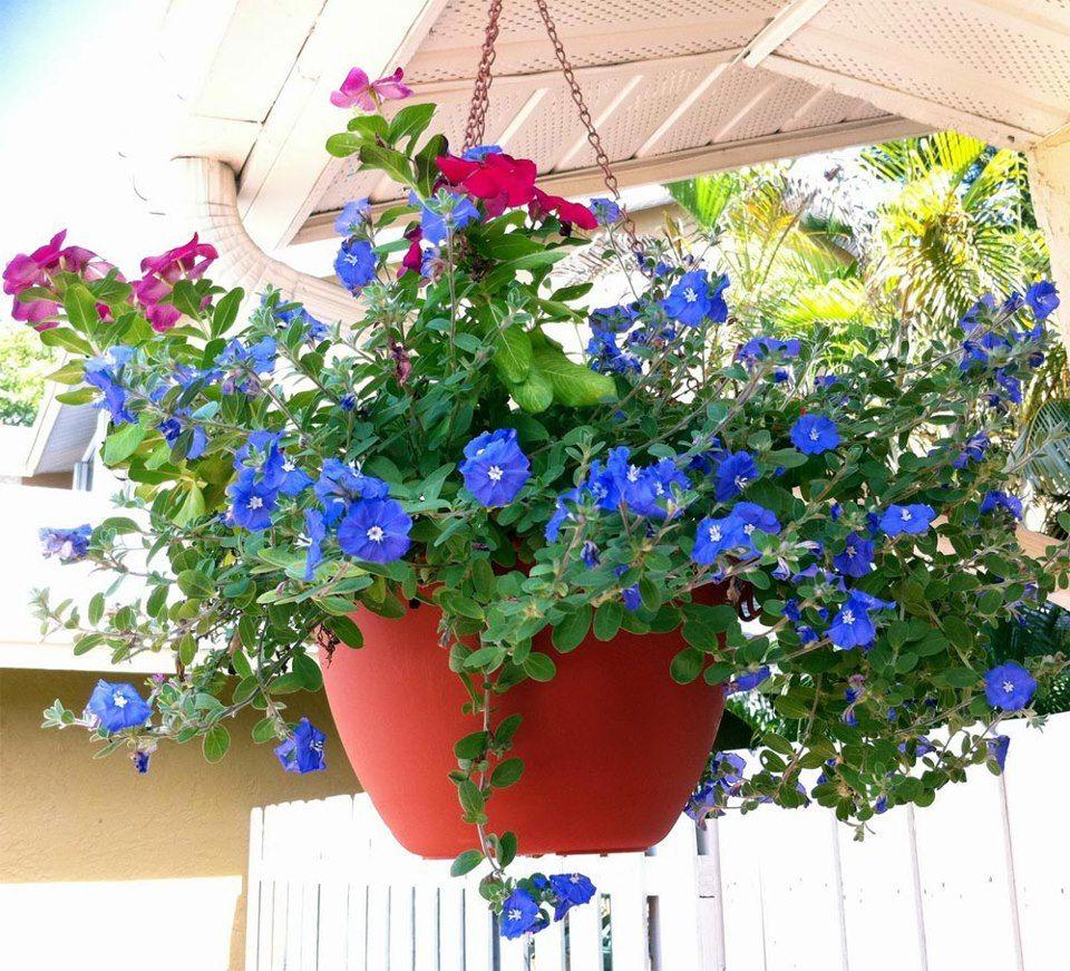 flores para jardim de inverno:Evolvulus Glomeratus