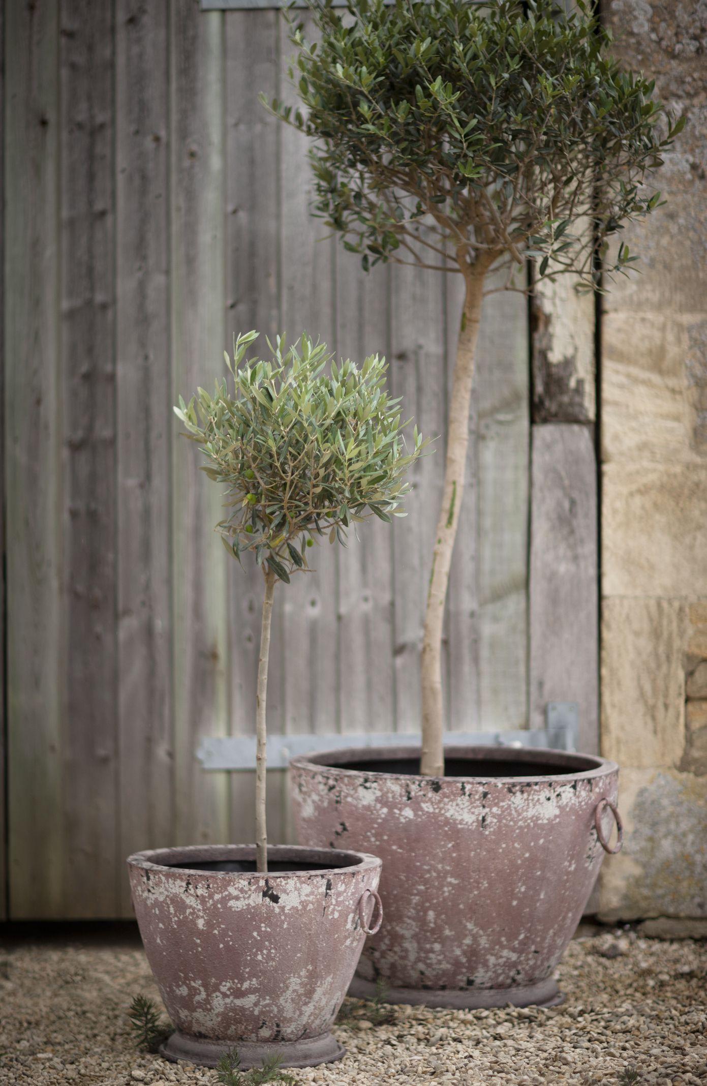 potted olive trees i n m y g a r d e n pinterest. Black Bedroom Furniture Sets. Home Design Ideas