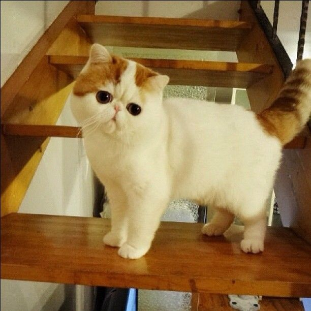 Экзотическая короткошерстная кошка с огромными