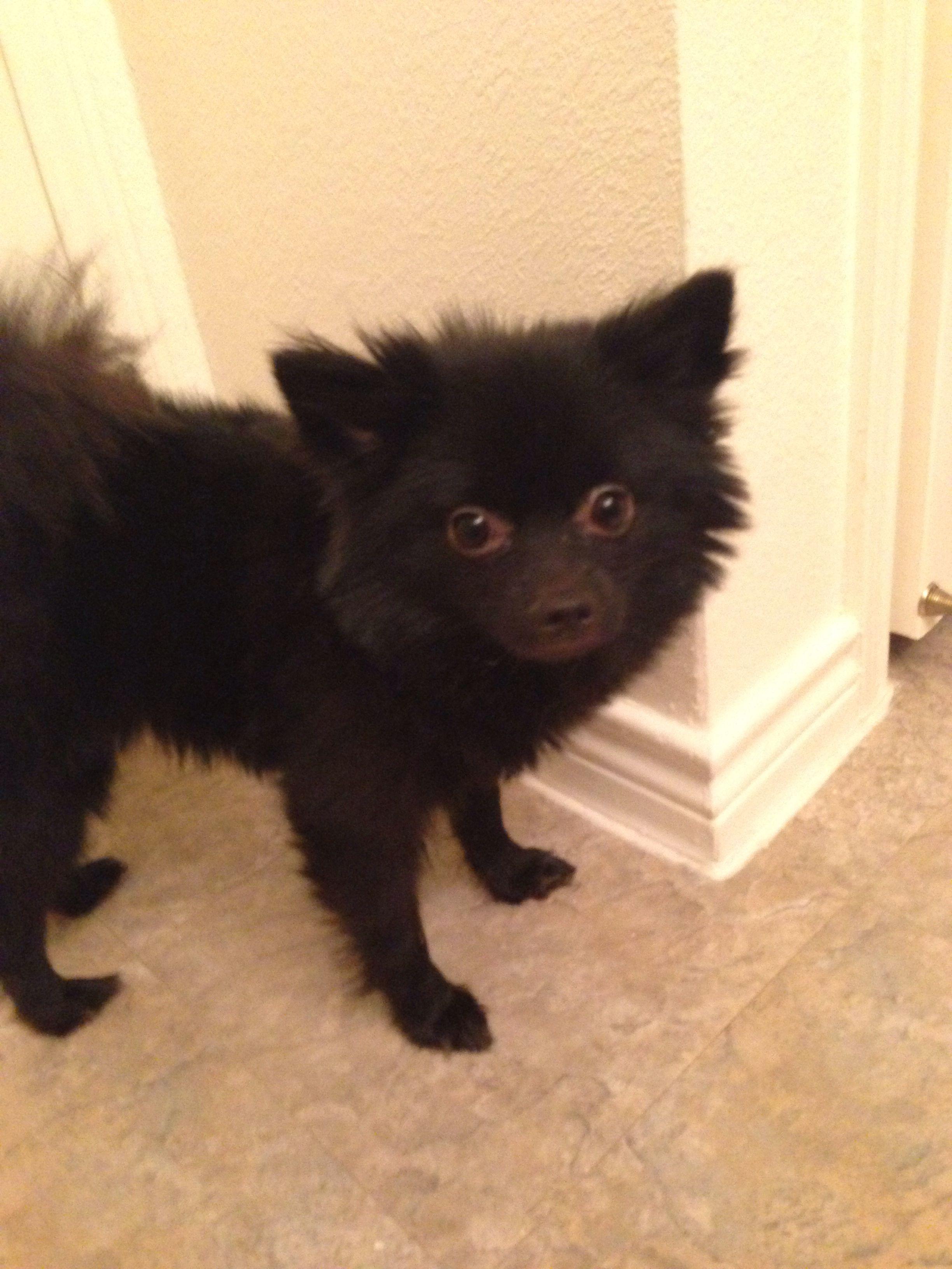 black teddy bear pomeranian - photo #5