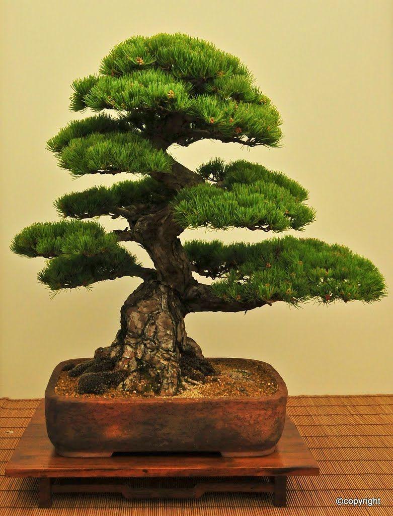 Jp black pine bonsai pinterest for Cool bonsai tree