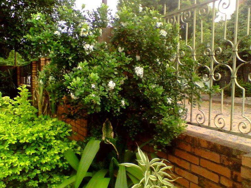 Planta de mirto las plantas y flores de mi jardin - Plantas y jardin ...