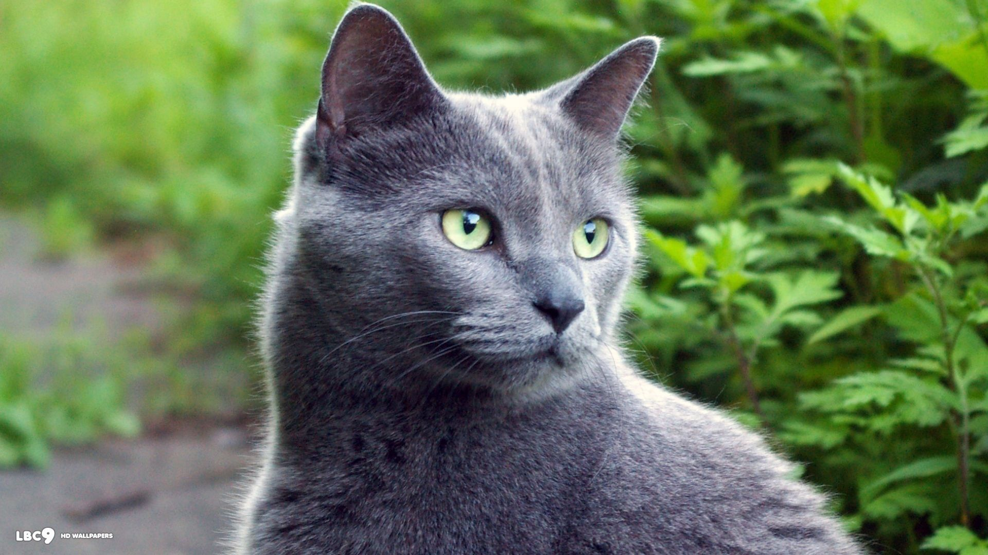 Green eyes! | Gray Cats | Pinterest Russian Blue With Green Eyes