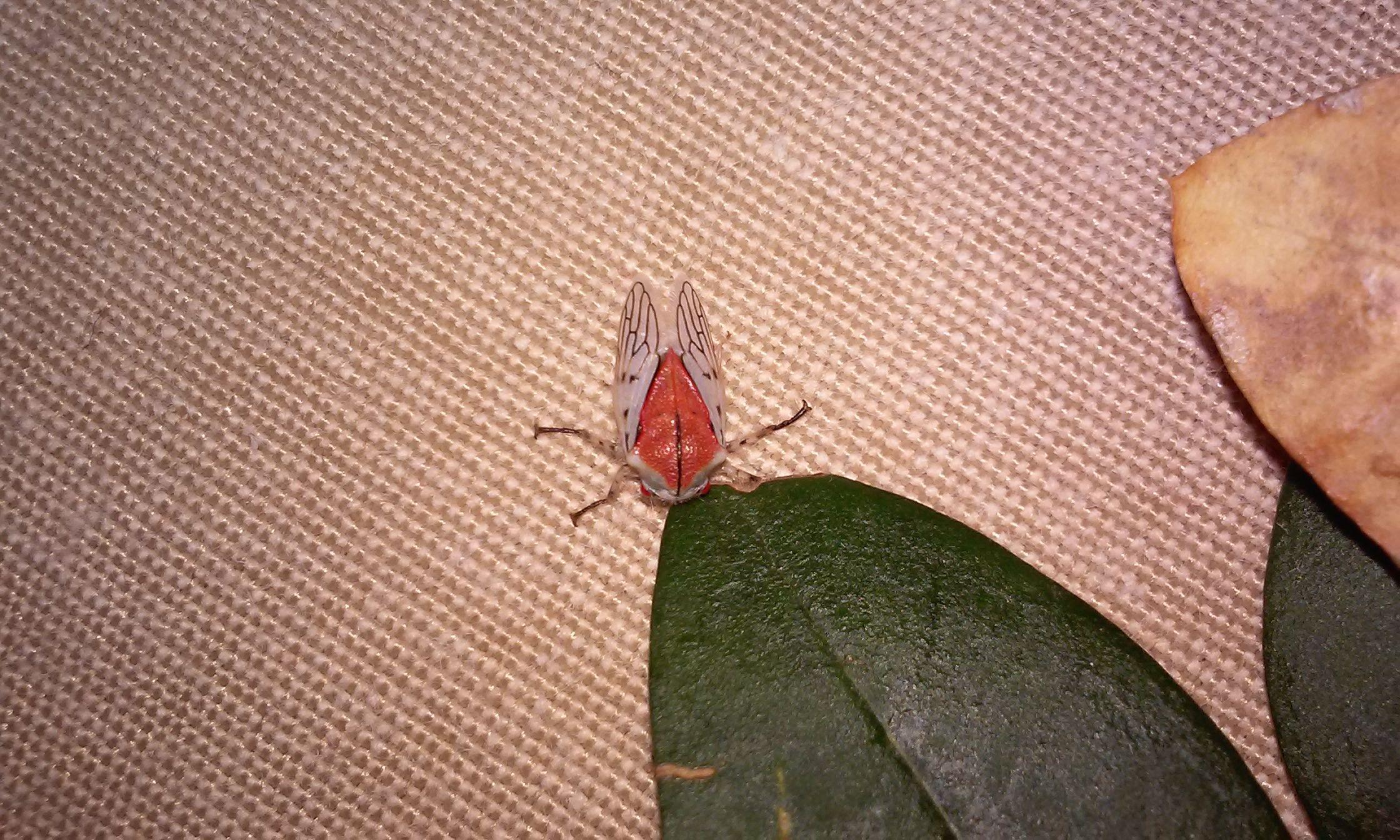 Para wikifauna insecto alas