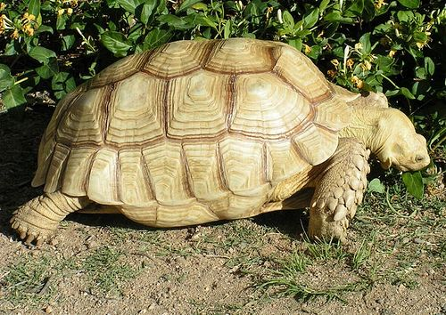 Full grown sulcata tortoise