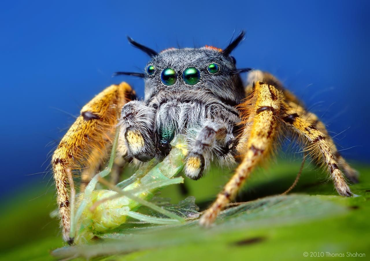 Cute jumping spider - photo#13