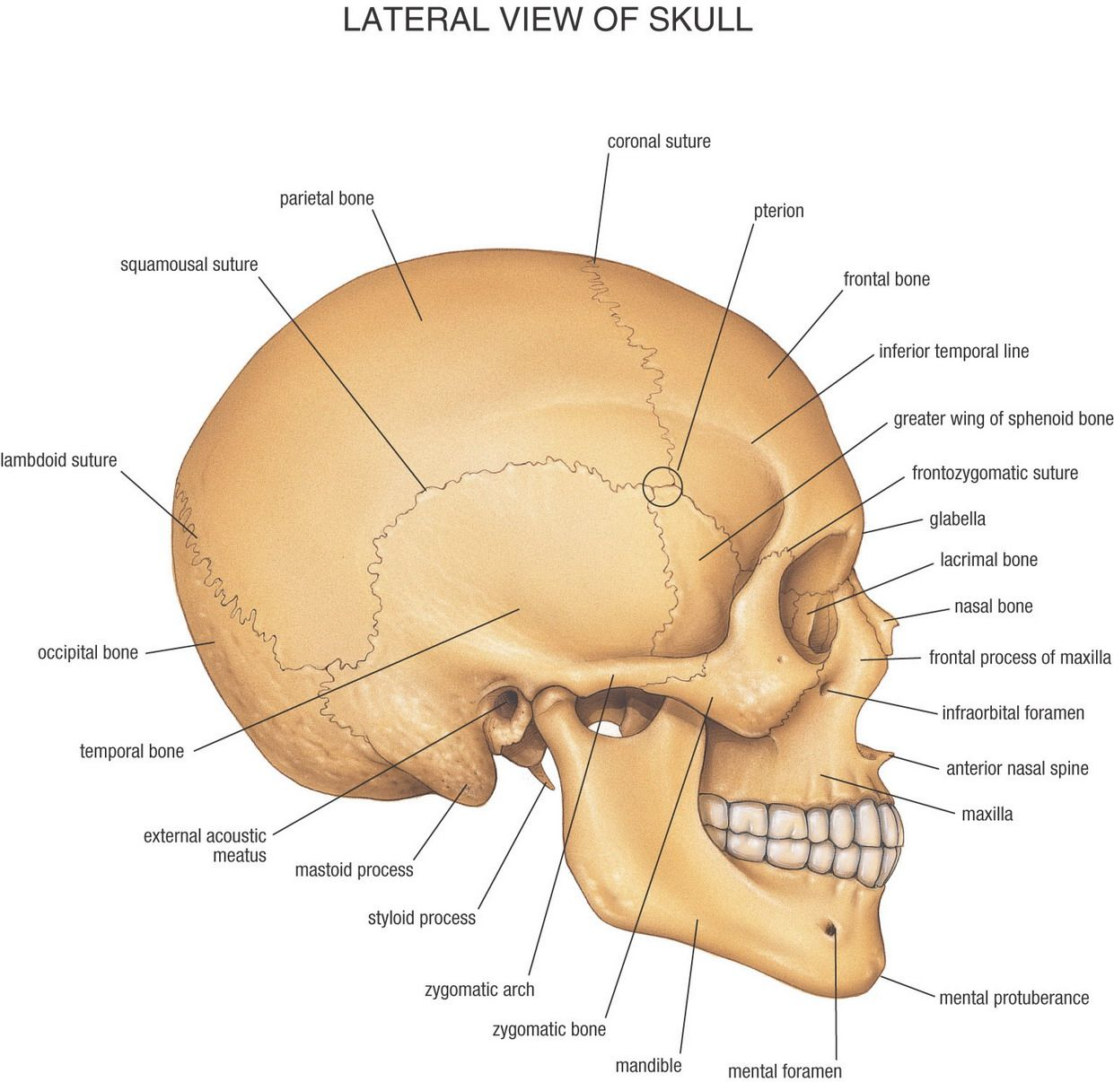 Labeled skull anatomy