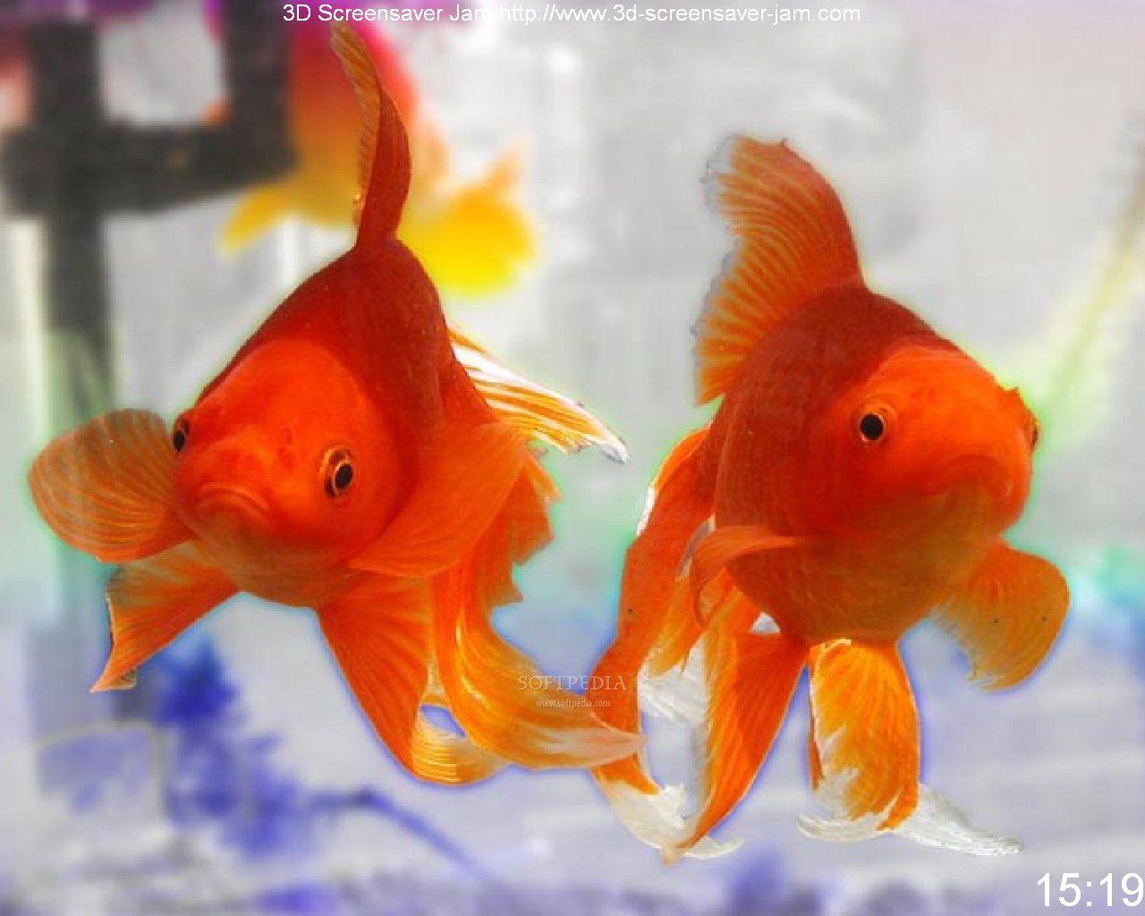 Red comet goldfish - photo#6