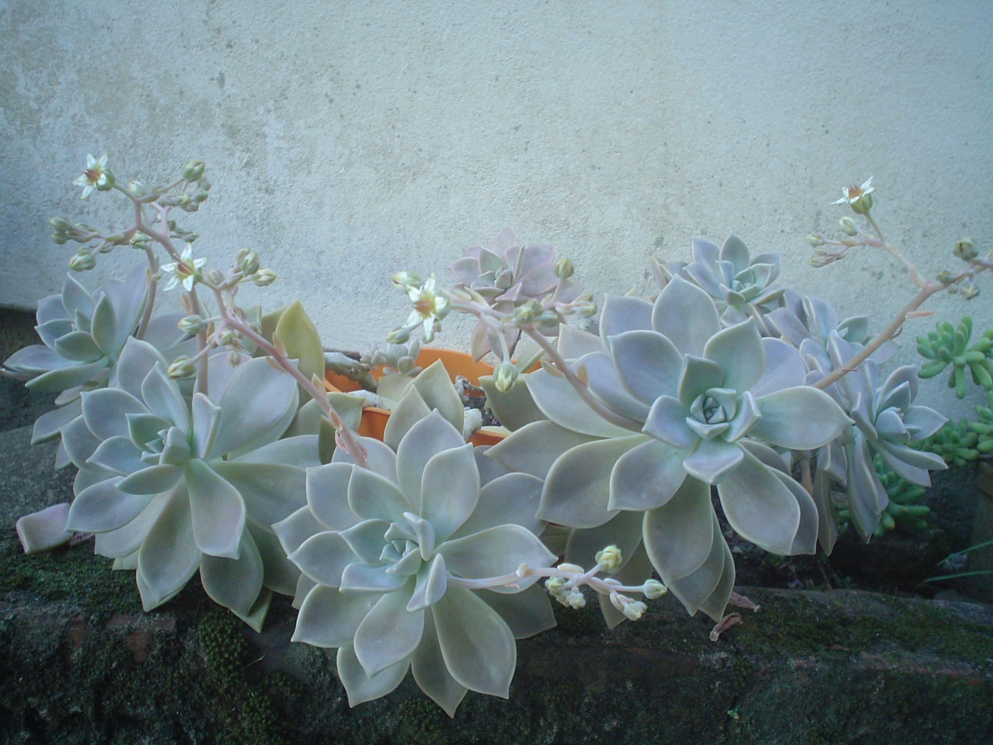 suculentas (Rosas de pedra)  Meu jardim!  Pinterest