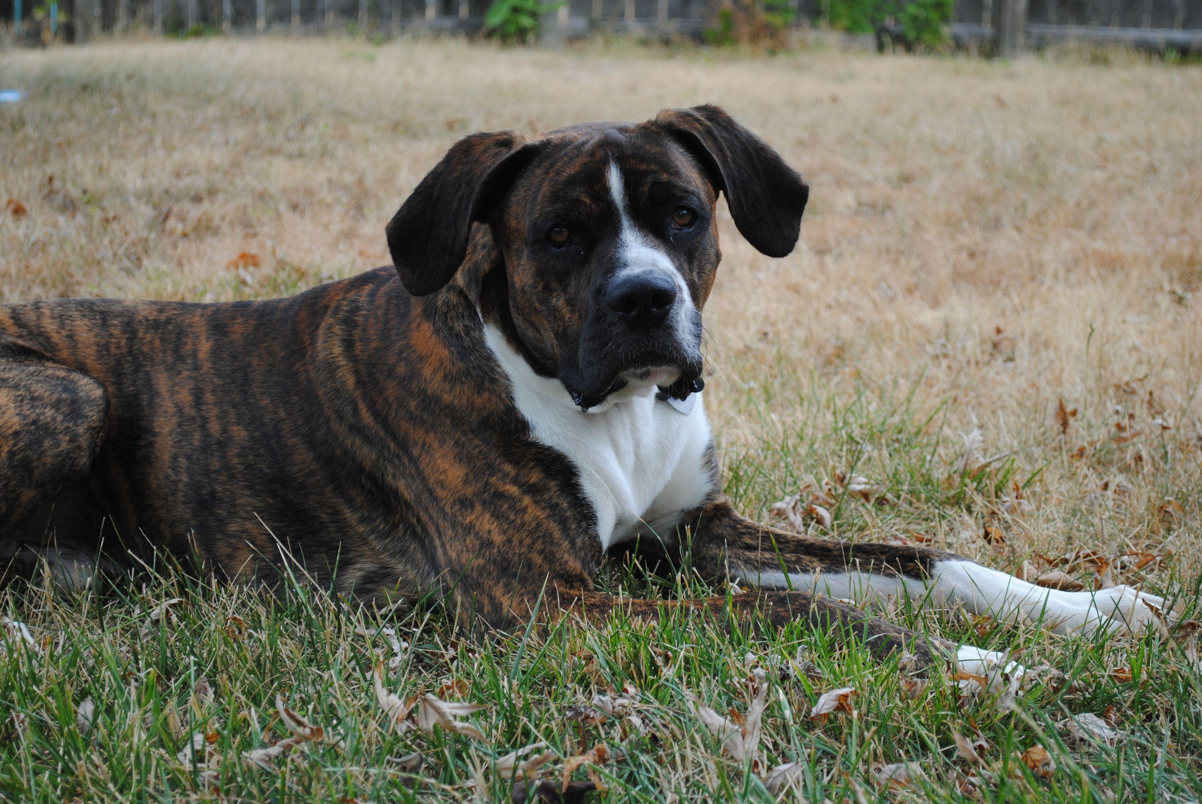 Brindle Lab | Dog Breeds Picture
