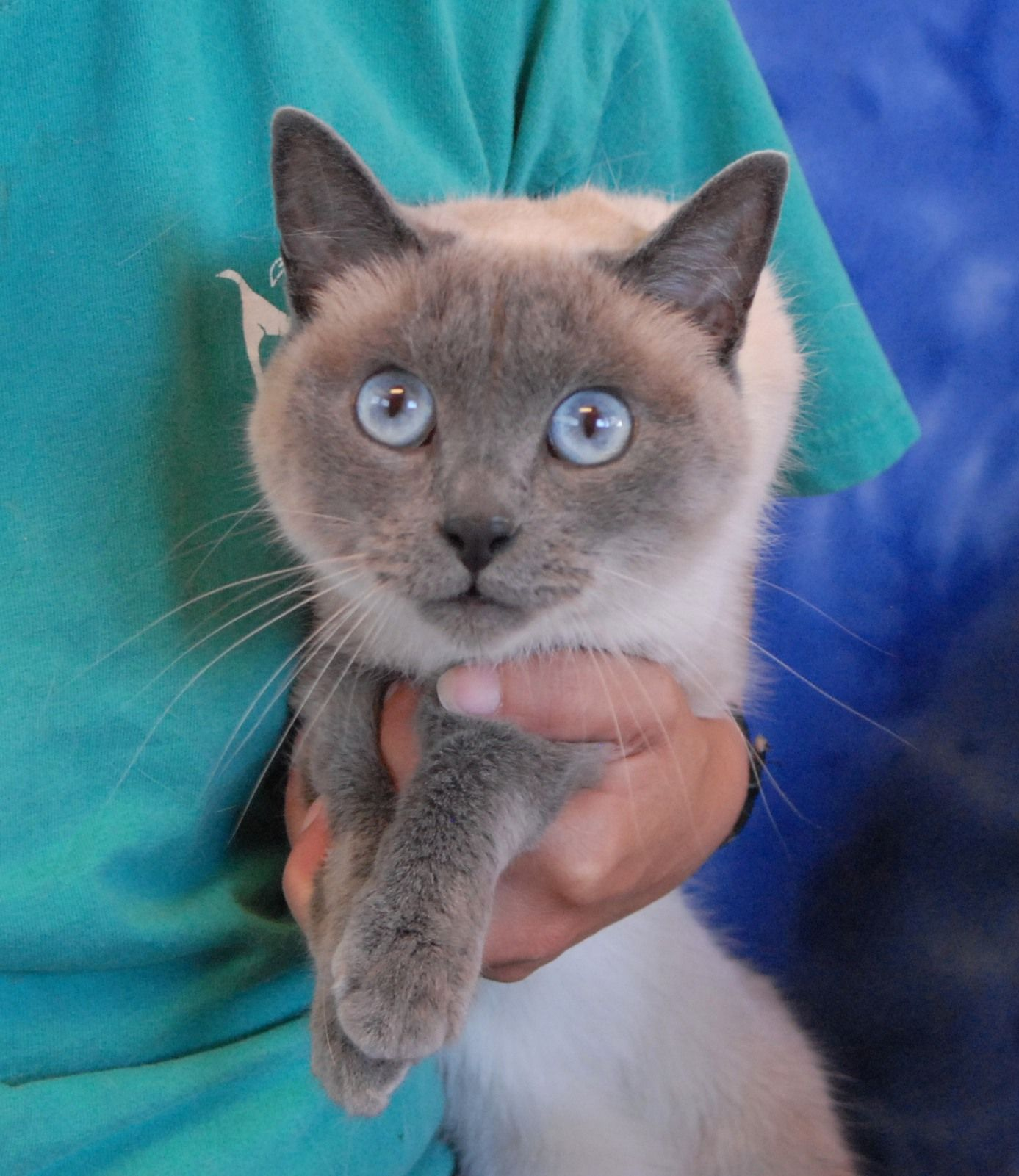 Declawed Young Cats For Adoption