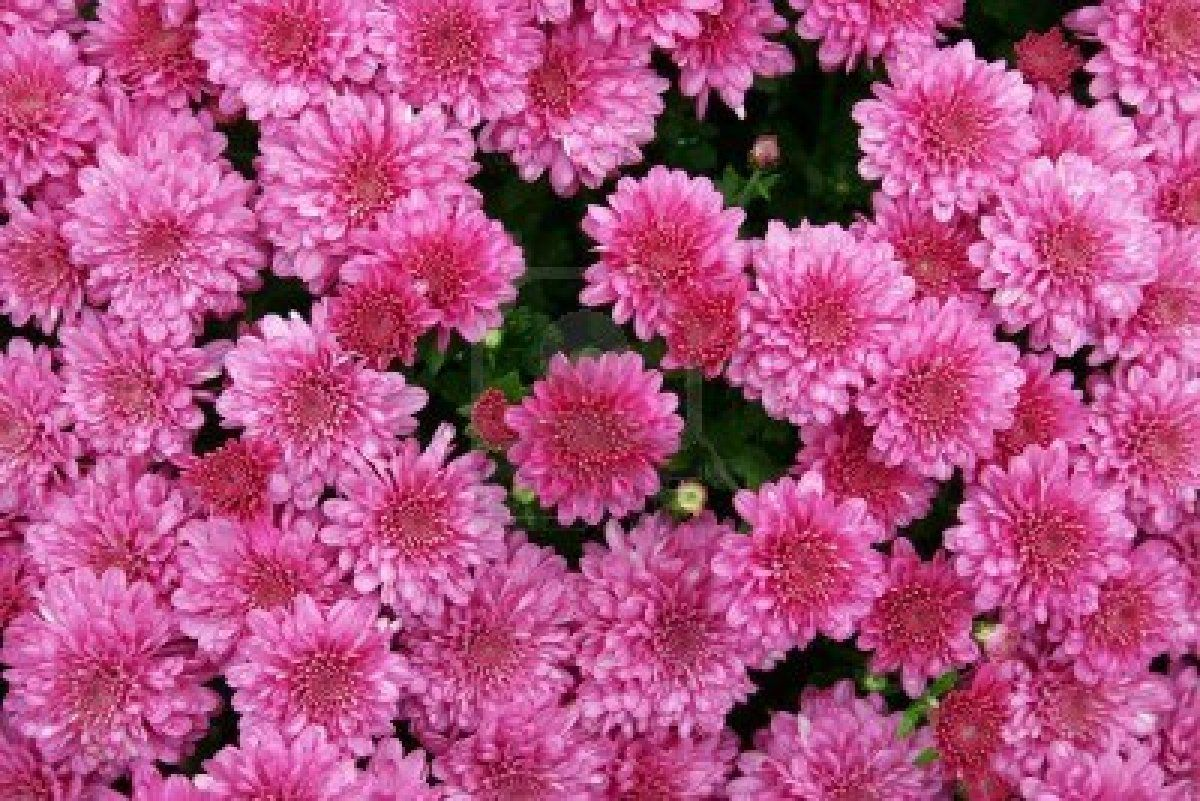 pink mums flowers and outside