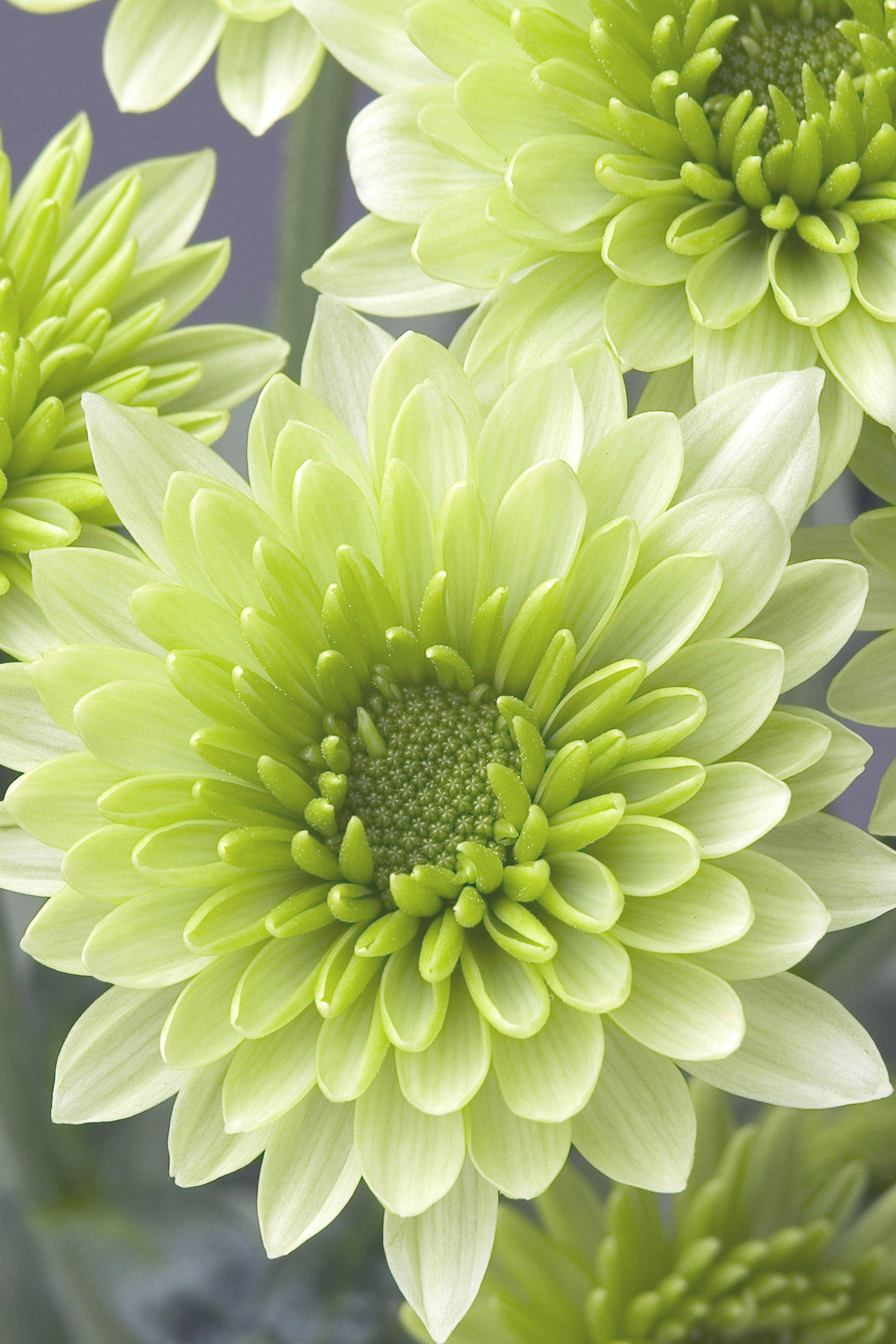 Chrysanthemum flower &Chrysanthème