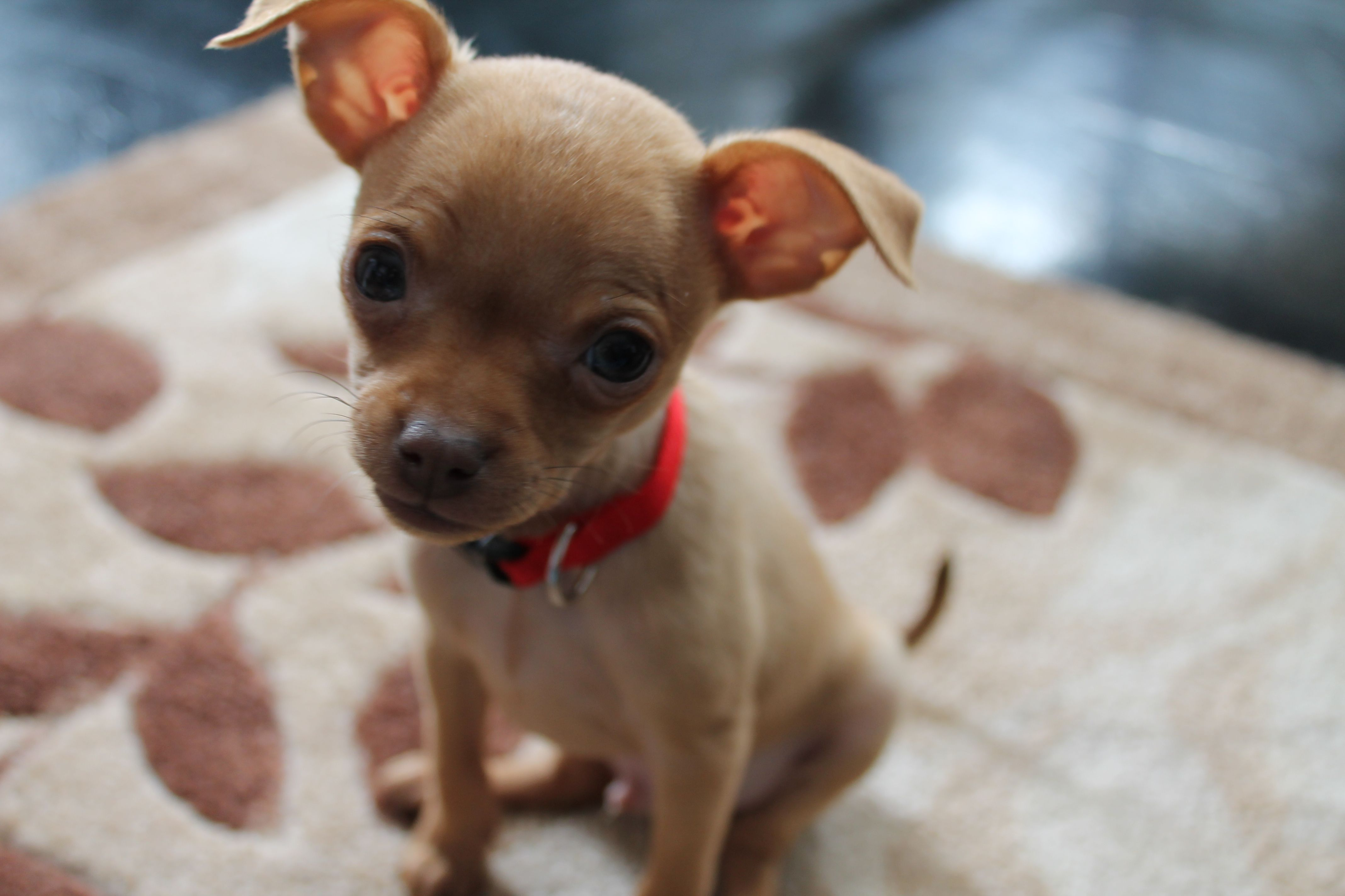Chion (Papillon Chihuahua Mix) Info, Temperament Pictures of chihuahua mix