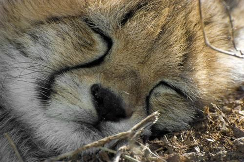 Image result for sleeping cheetah cub
