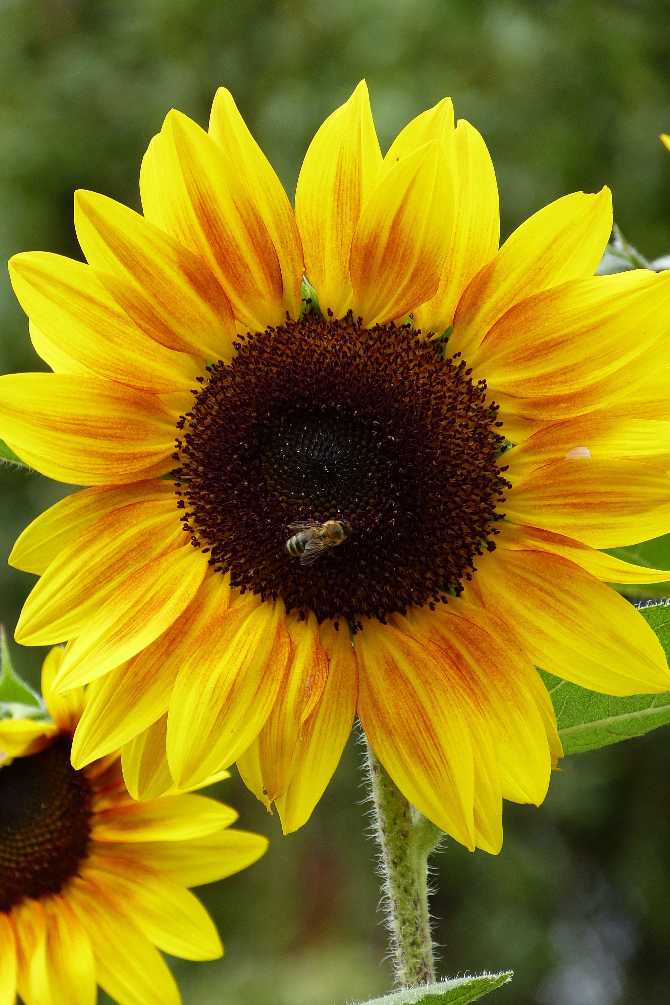 sunflowers Sunflowers and Daisies