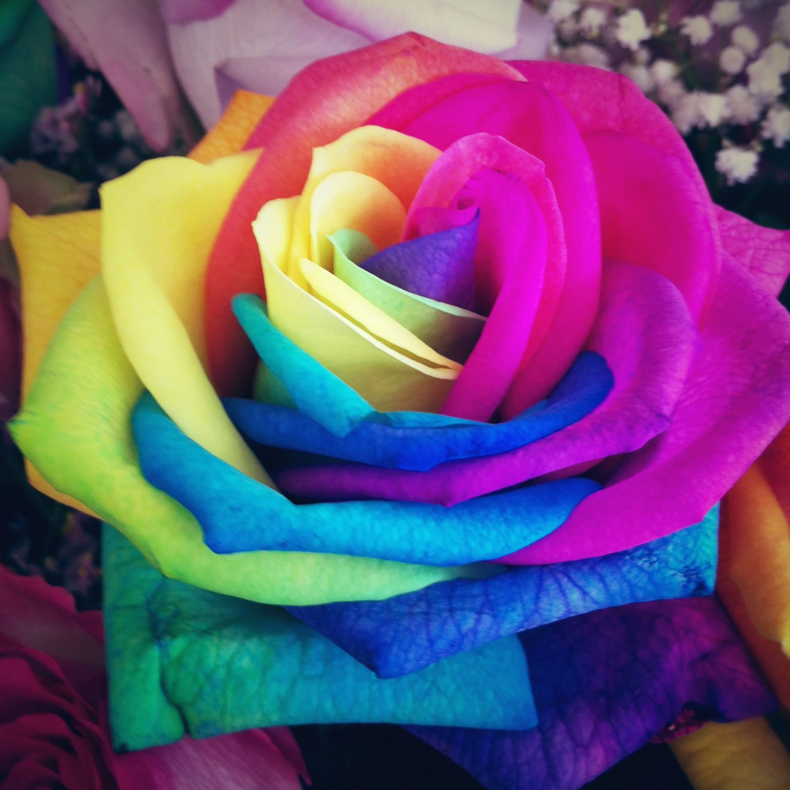 Rainbow rose flowers pinterest for How much are rainbow roses