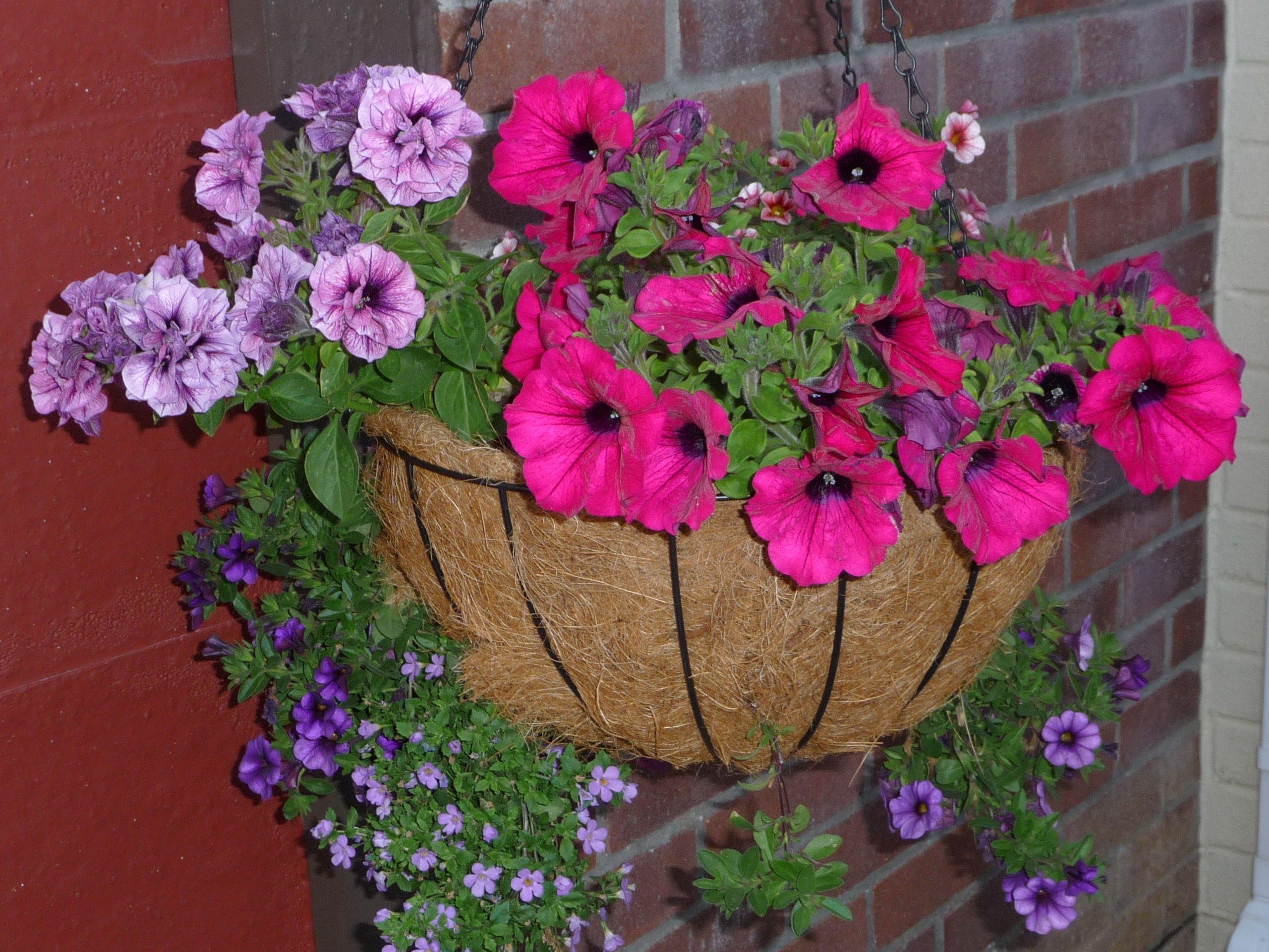 My hanging basket in flower Hanging flower baskets