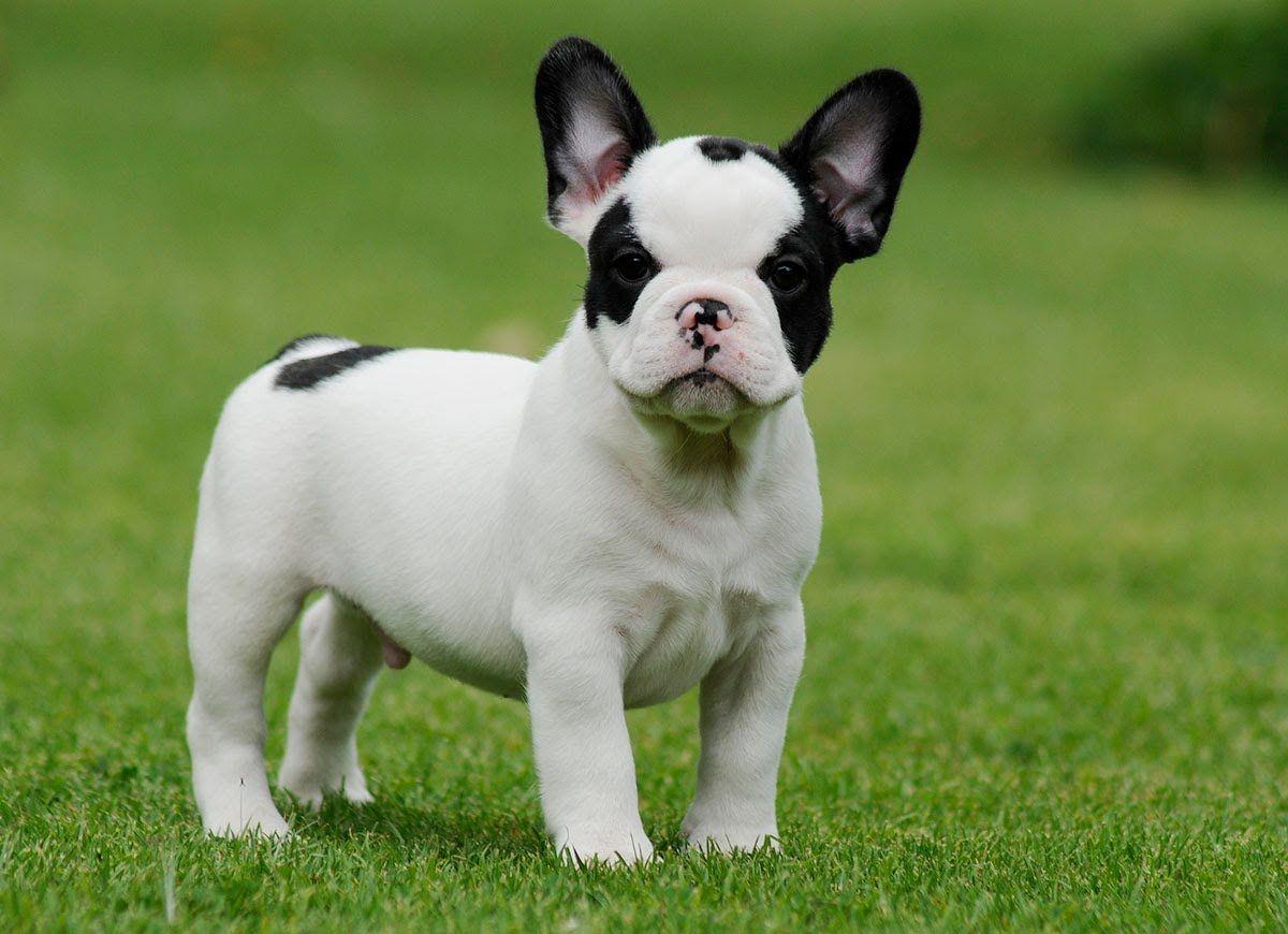 White miniature french bulldog