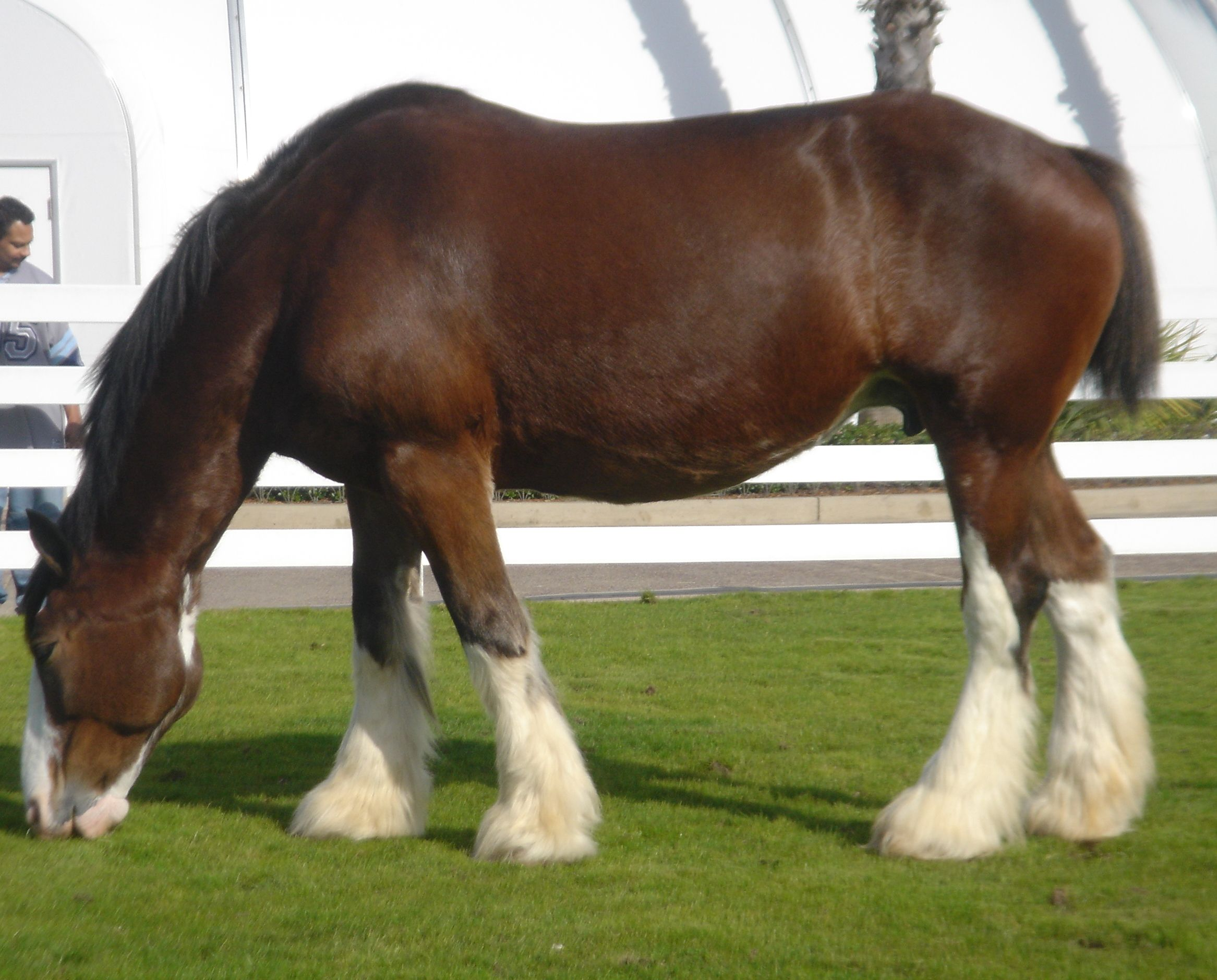 Clydesdale Draft Horse...