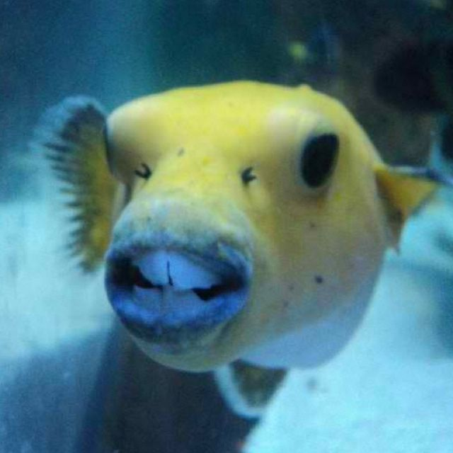 Coolest Puffer Fish Ever Tropical And Unusual Fish And Sea Creature
