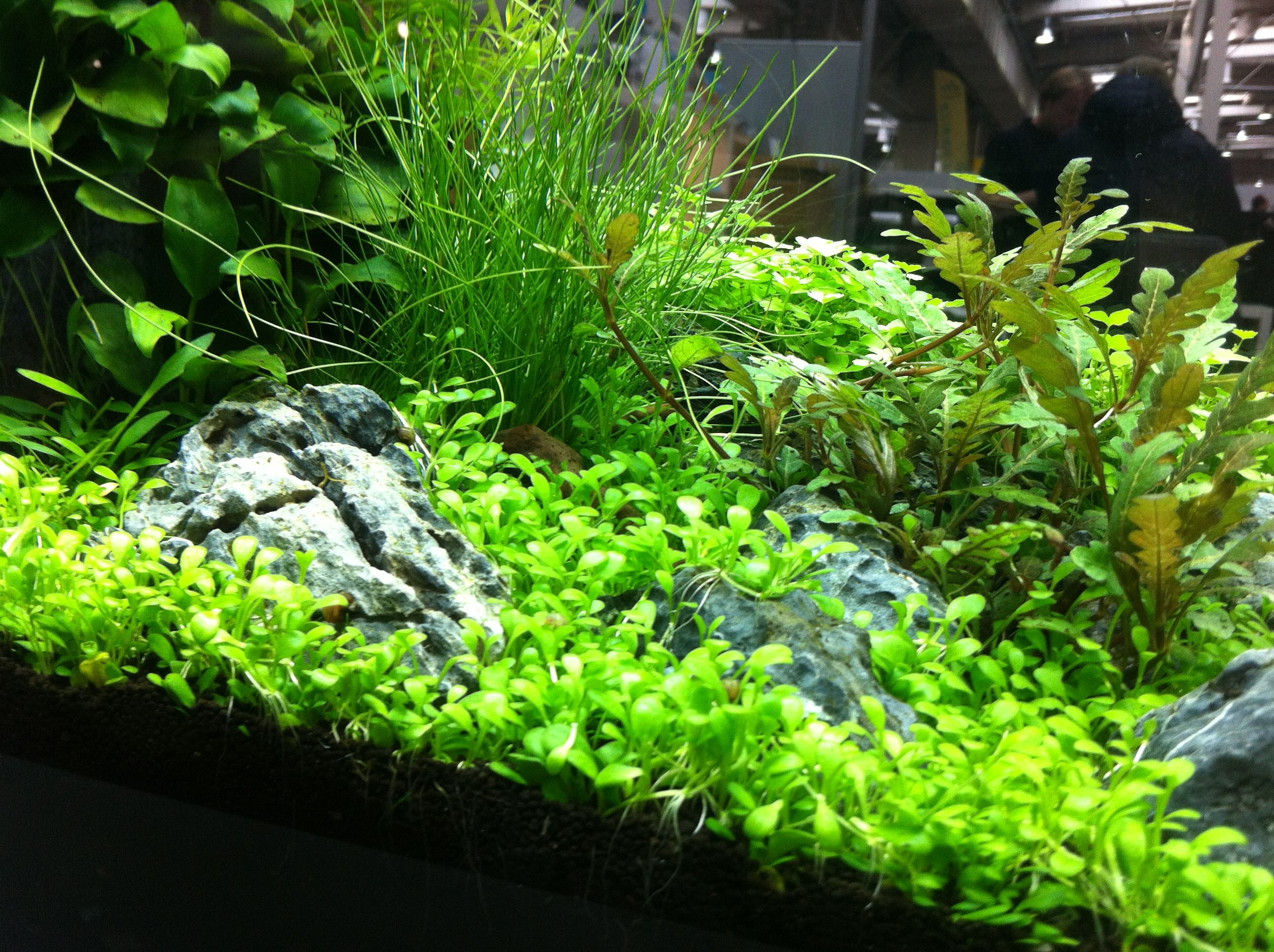 Amano aquascaping Gardening Pinterest