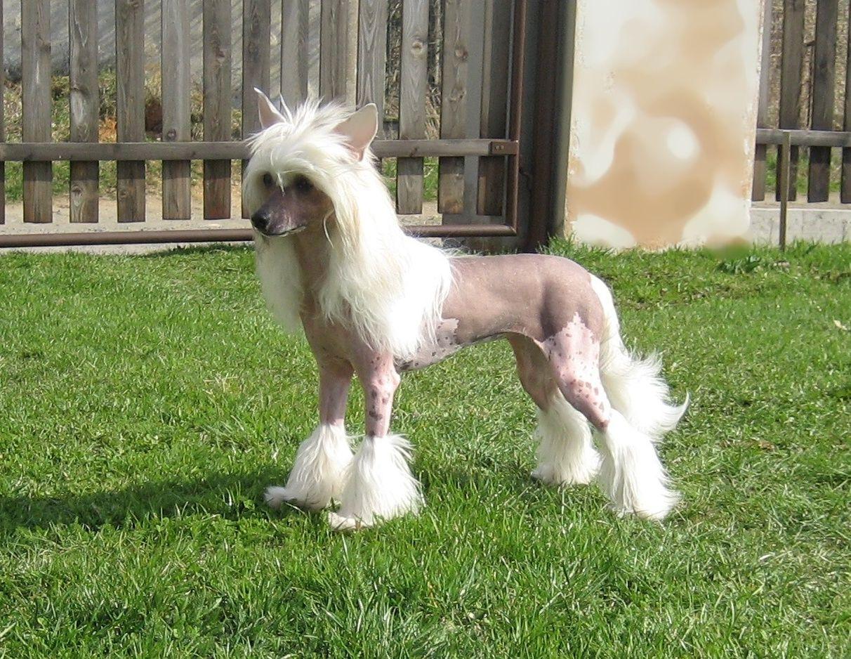 Chinese Crested   Dog Breeds   Pinterest