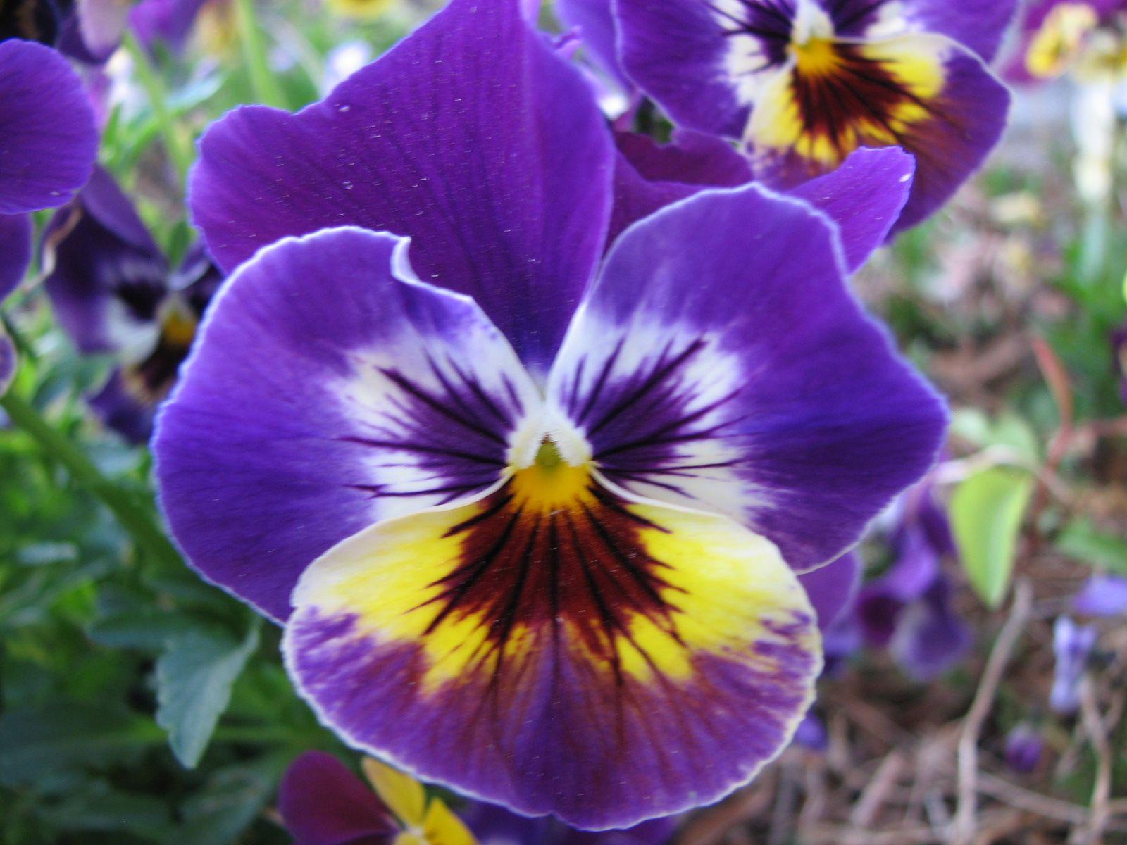 Johnny Jump Ups Flowers Pansies and Violas