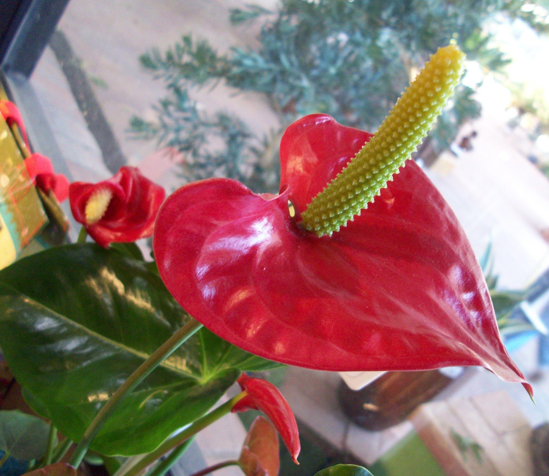 Anthurium Year Round Plant Dream Garden Pinterest