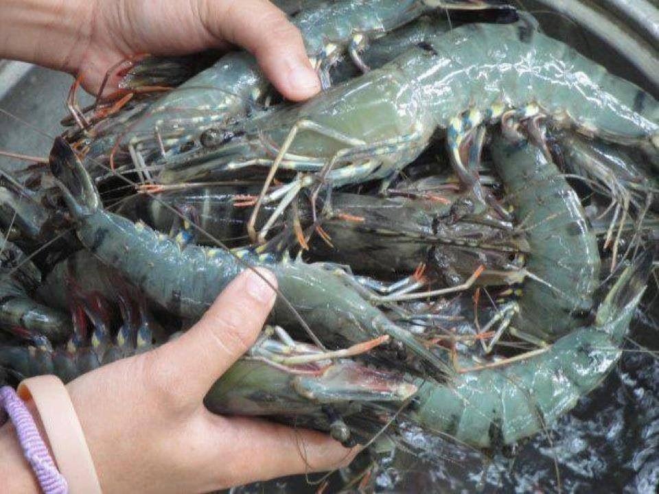 Black Tiger Shrimp   PHILIPPINES ...PEARL OF THE ORIENT ...