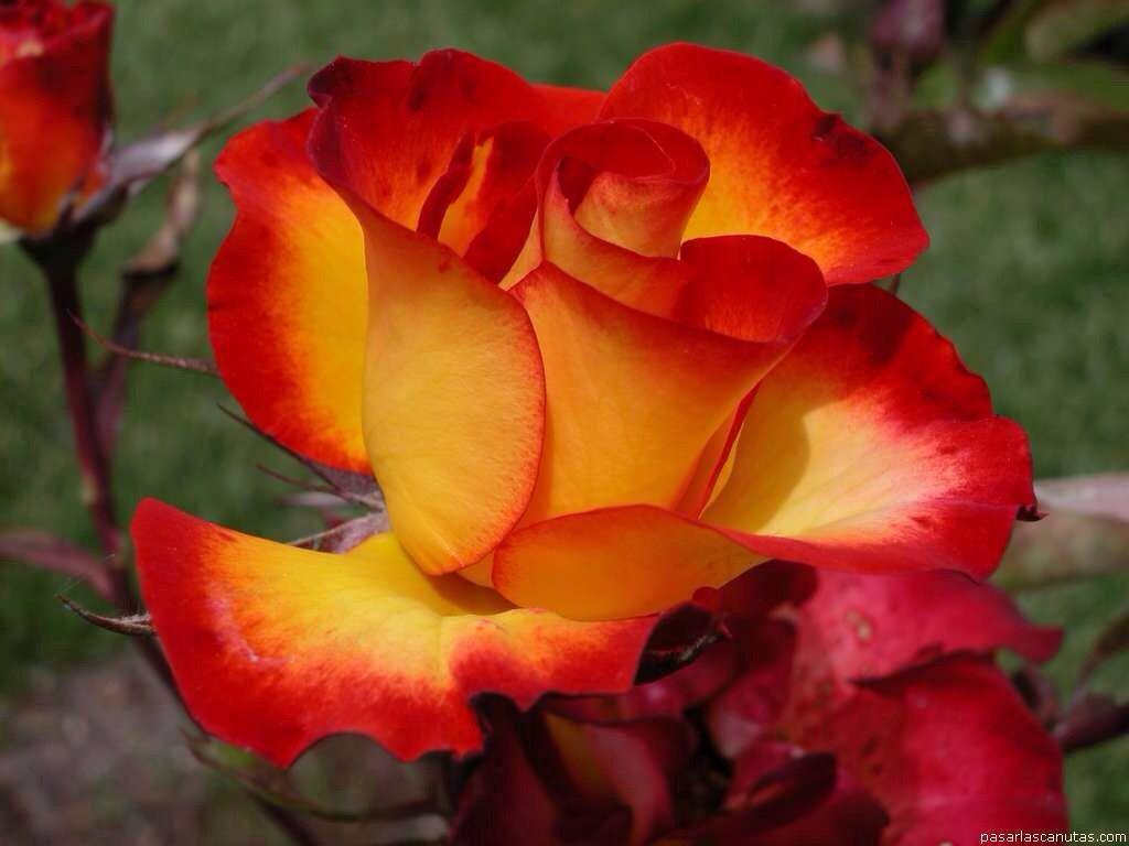 Red orange rose