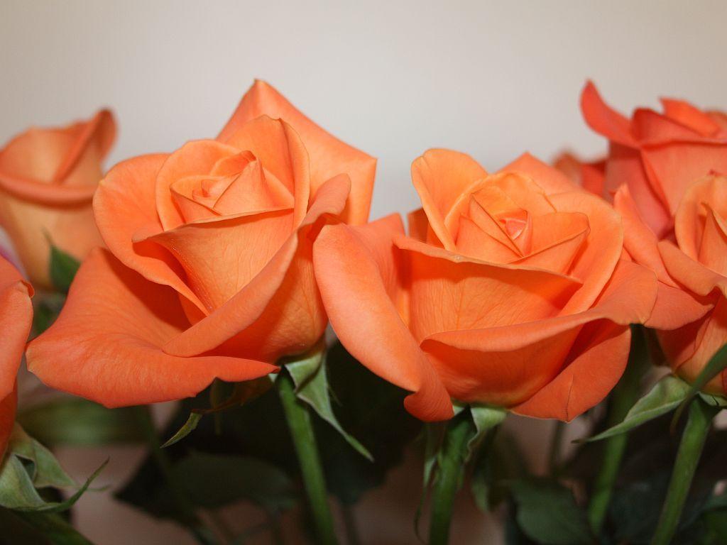Orange roses flowers pinterest for The meaning of orange roses