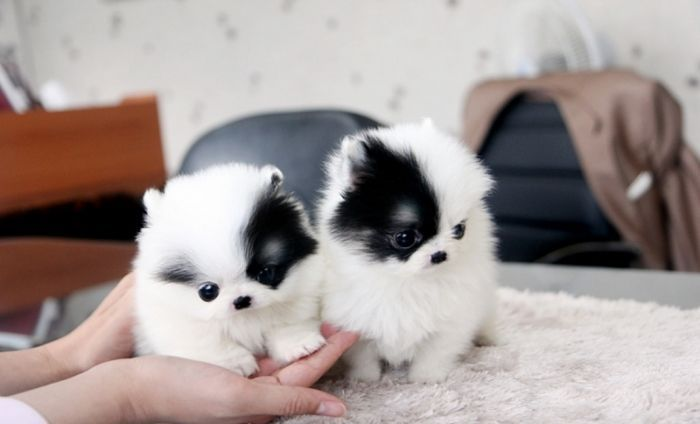 White and black teacup pomeranian