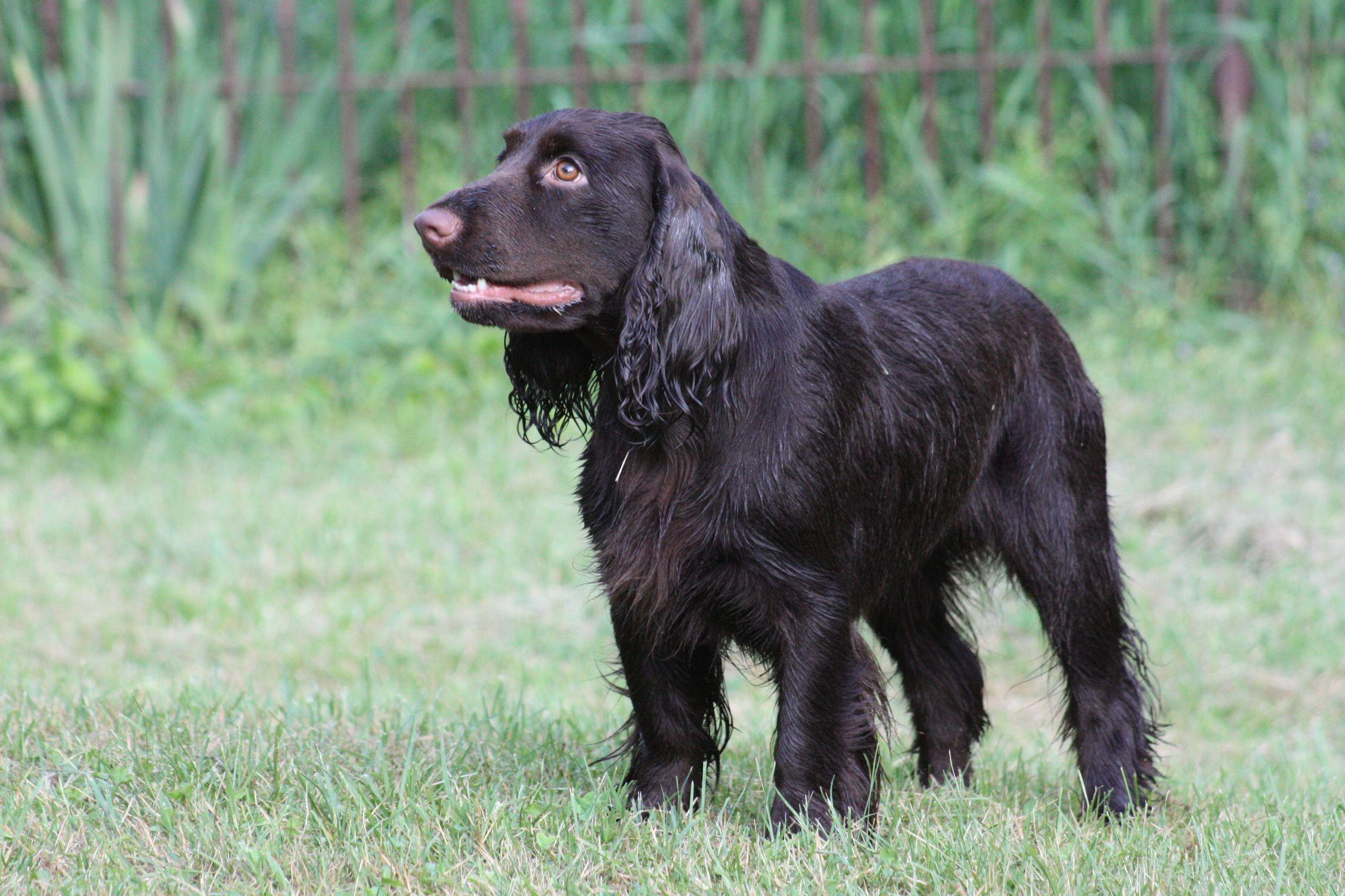 Field Spaniel #Spaniels #Dogs #Puppy | Field Spaniel ...