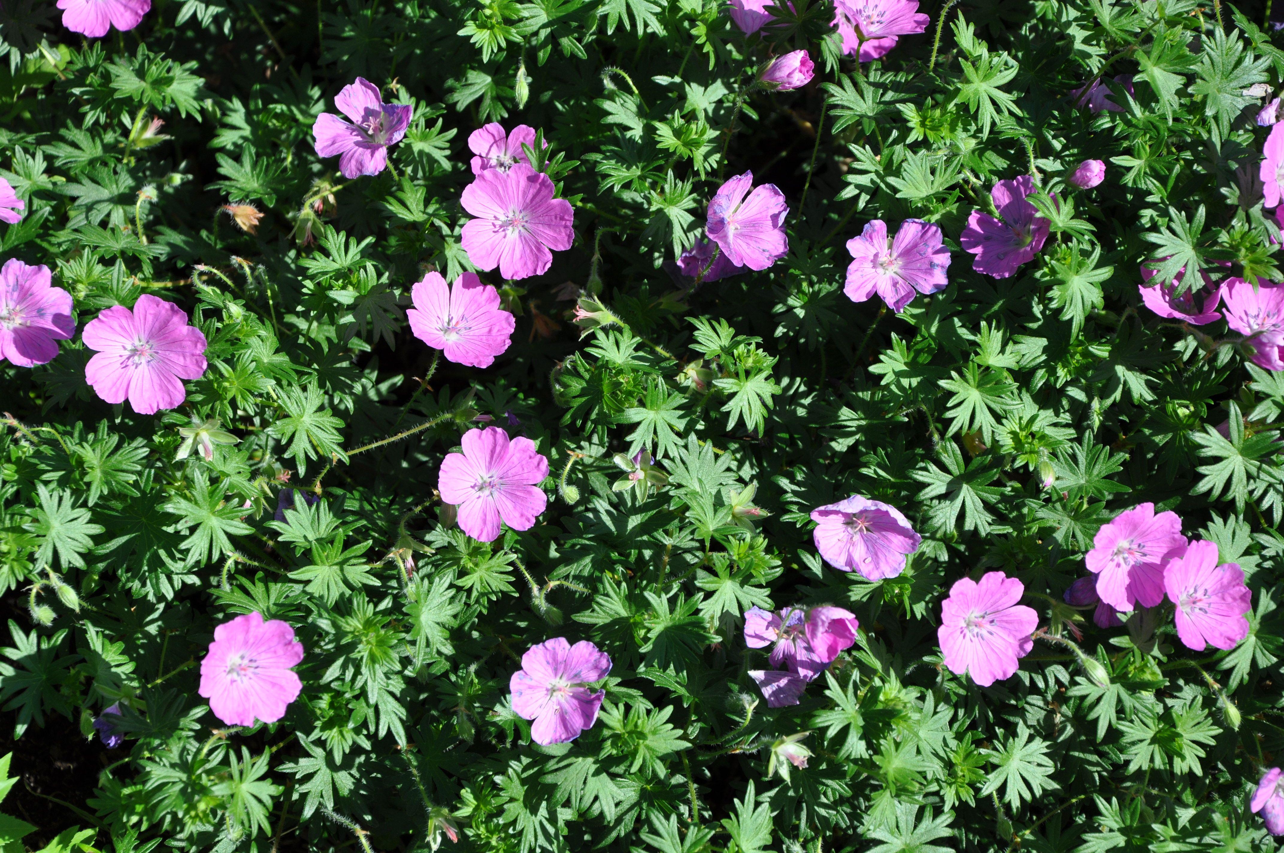 ground cover geranium Garden Flowers