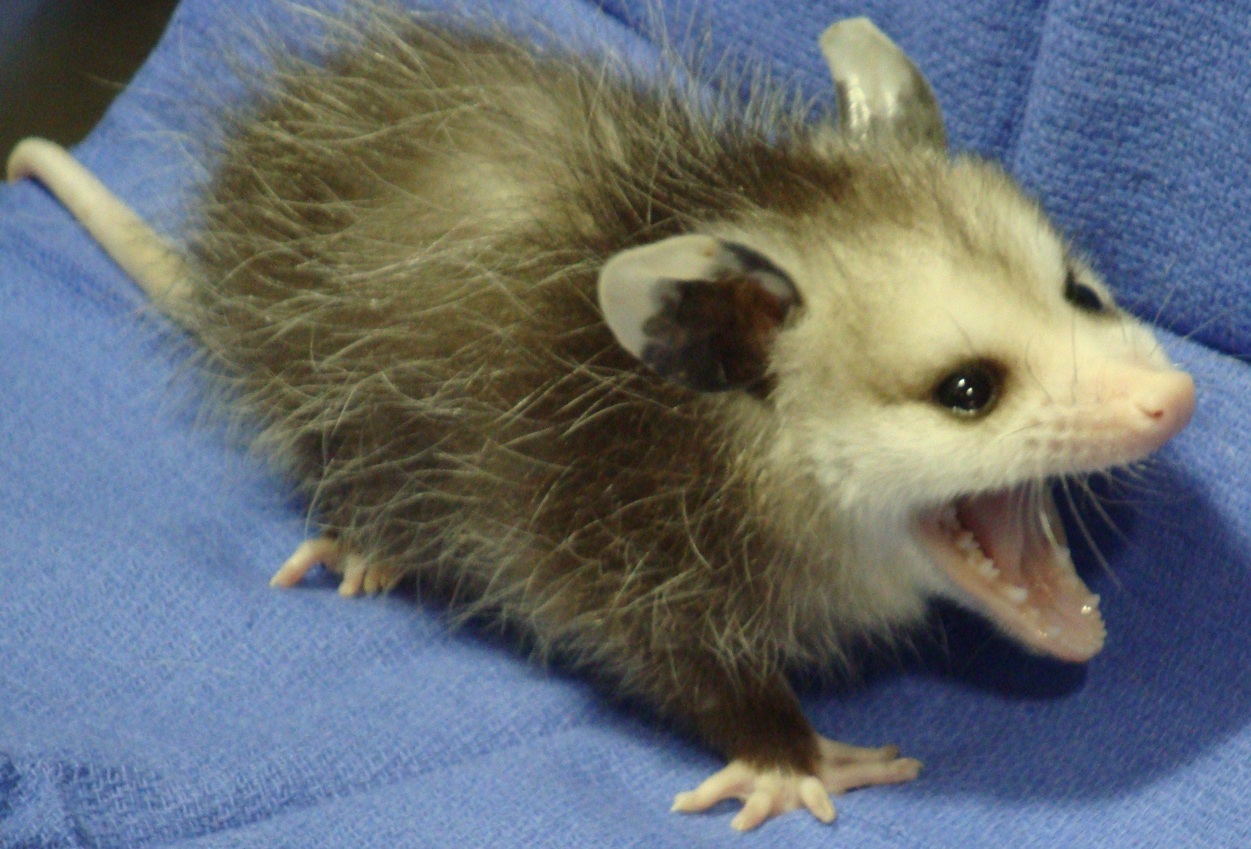 Baby opossum   Cachorr...