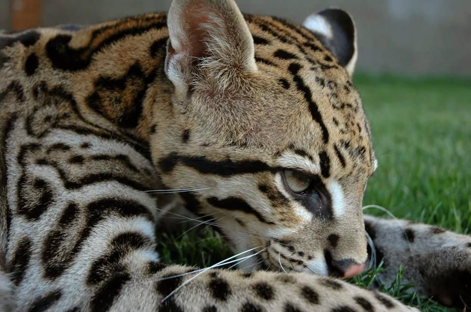 Ocelot Cats For Sale In California