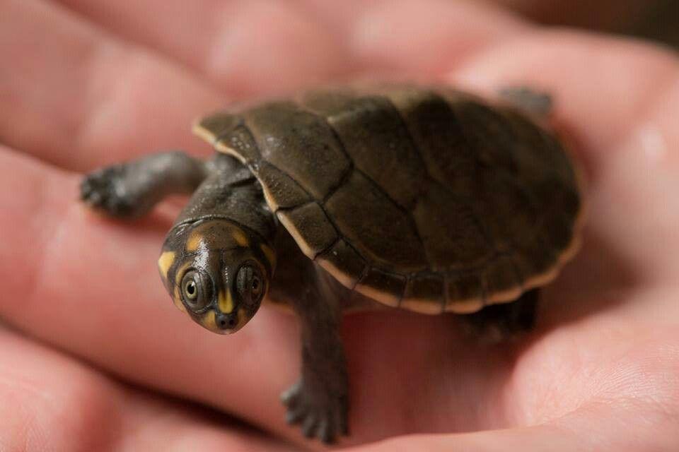 Pond turtle ?TURTLES!!!? Pinterest