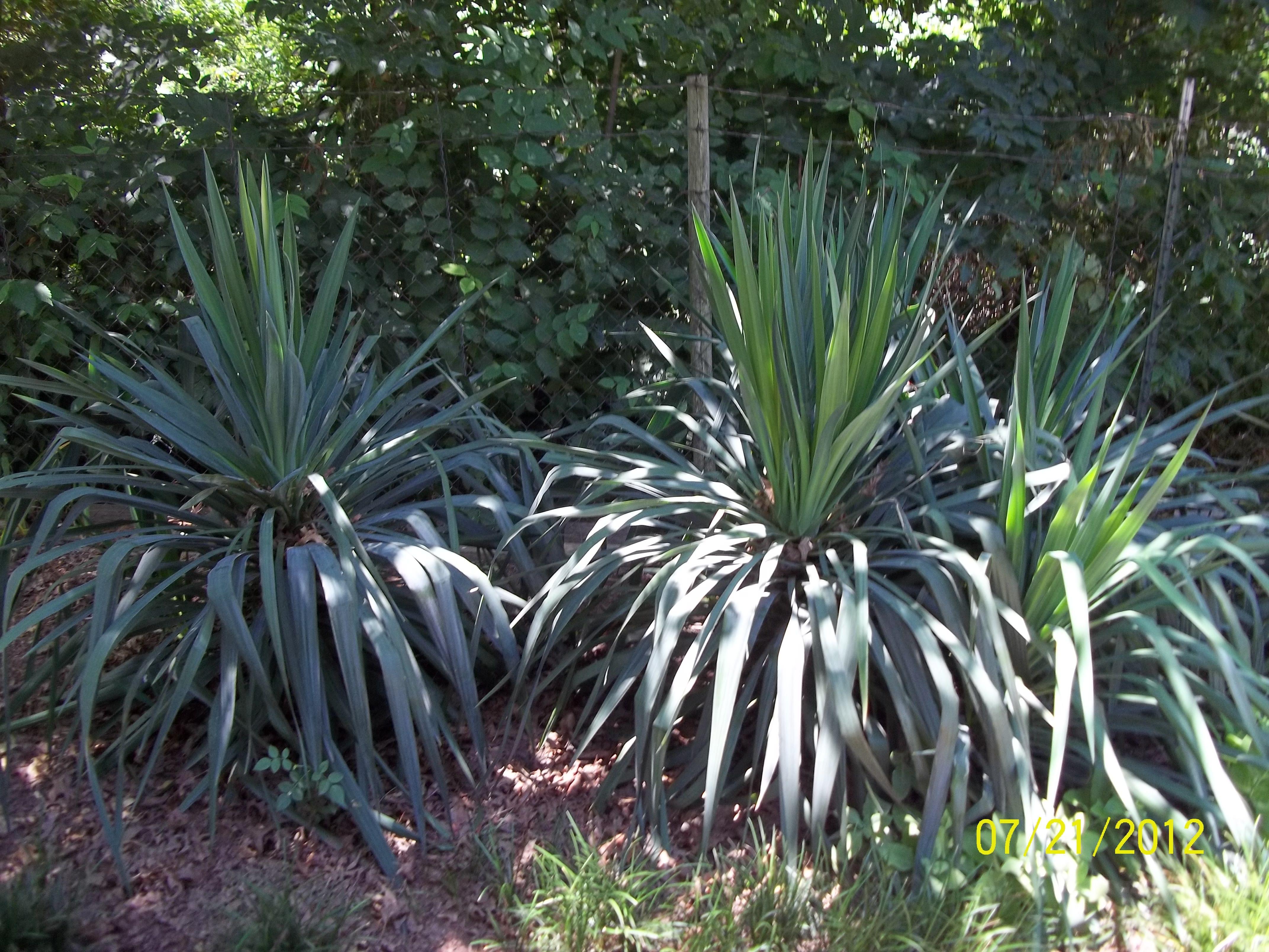 Yucca Plants GARDENS