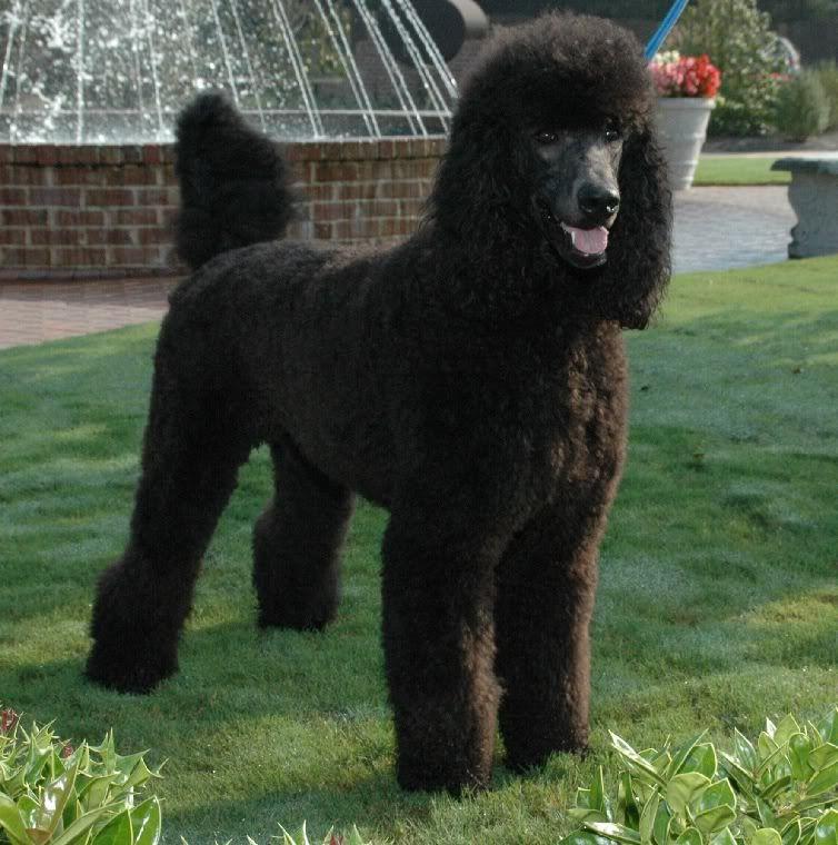 Black Standard Poodle Oodles Of Poodles Pinterest