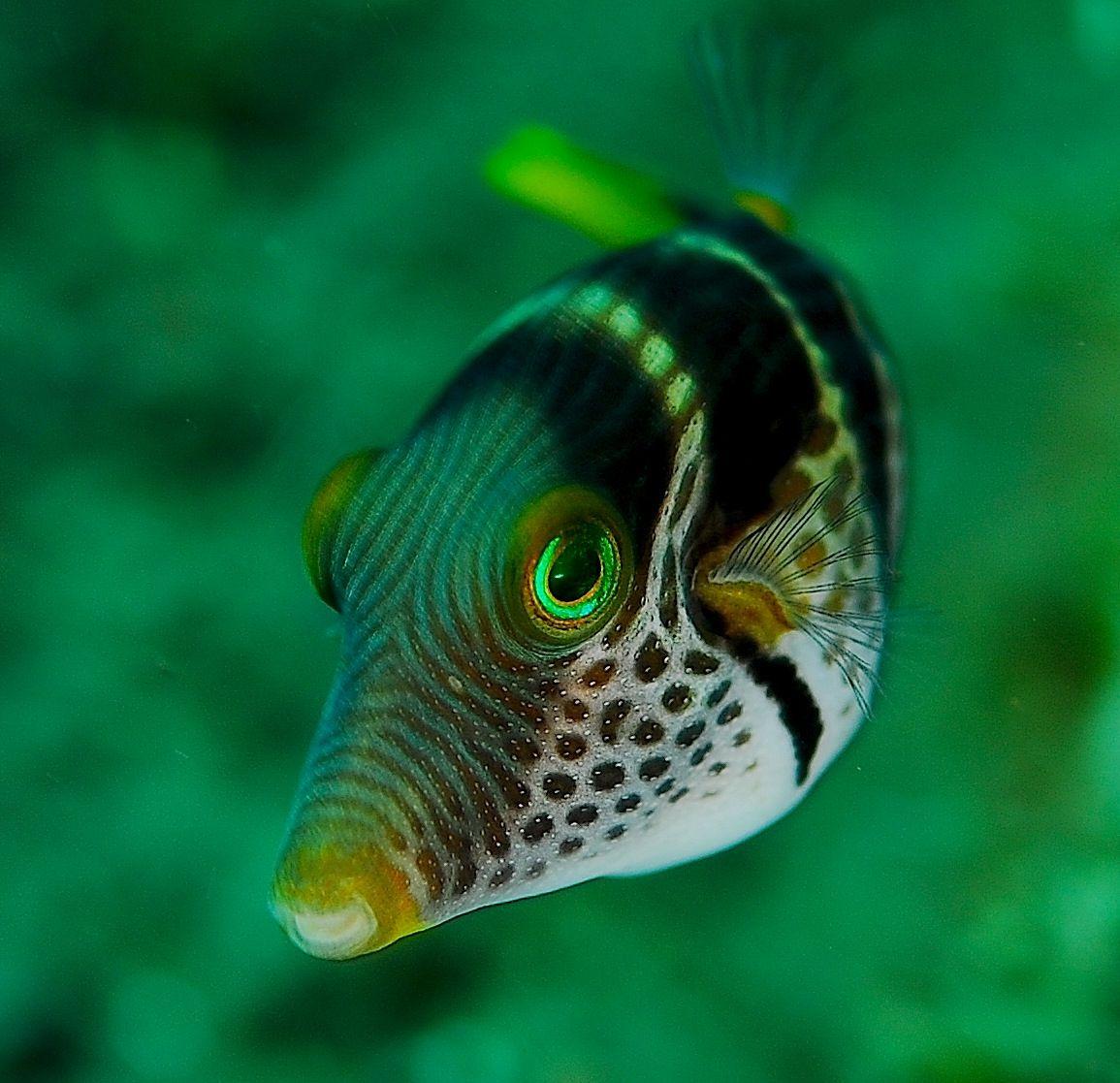 Valentini puffer fish salt water fish pinterest for A puffer fish